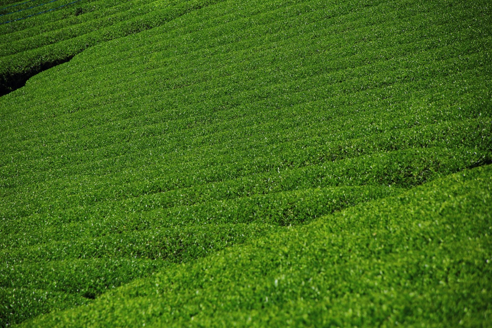 今まで以上にお茶を飲もうかなという気分になる和束町の茶畑