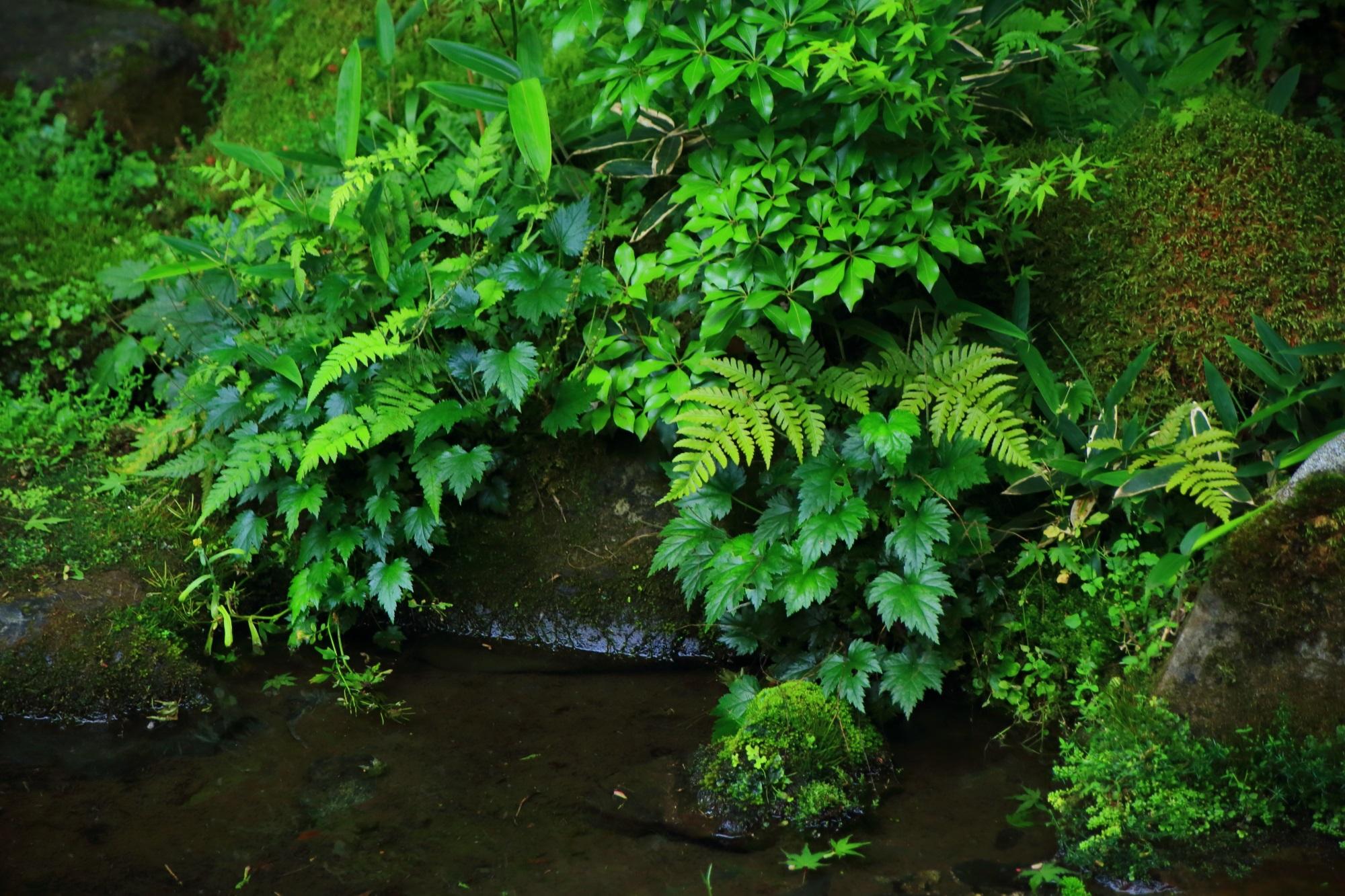 瑠璃光院 臥龍の庭 緑 苔 見事
