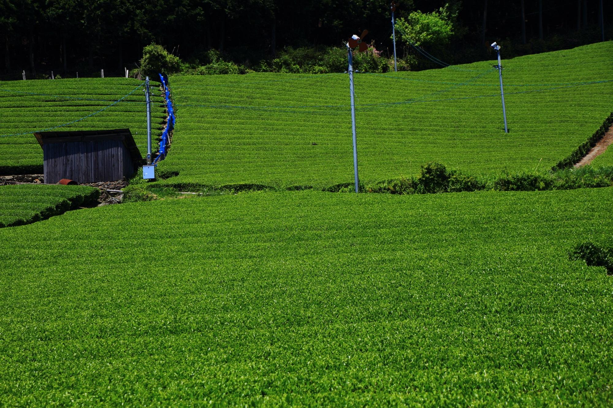 広がる美しすぎる淡い緑の絨毯