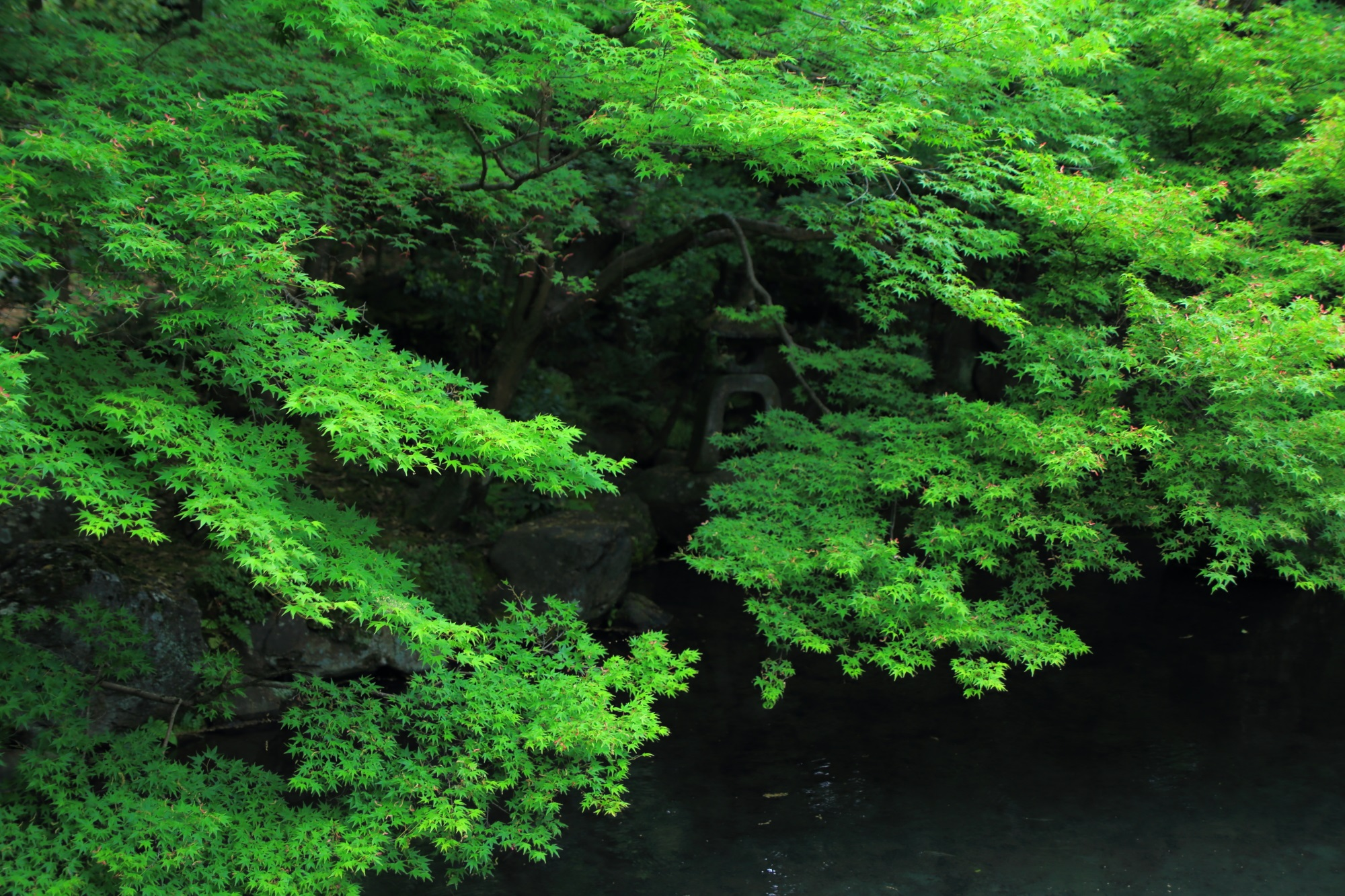 blue maple and fresh green Renge-ji Temple Kyoto Japan