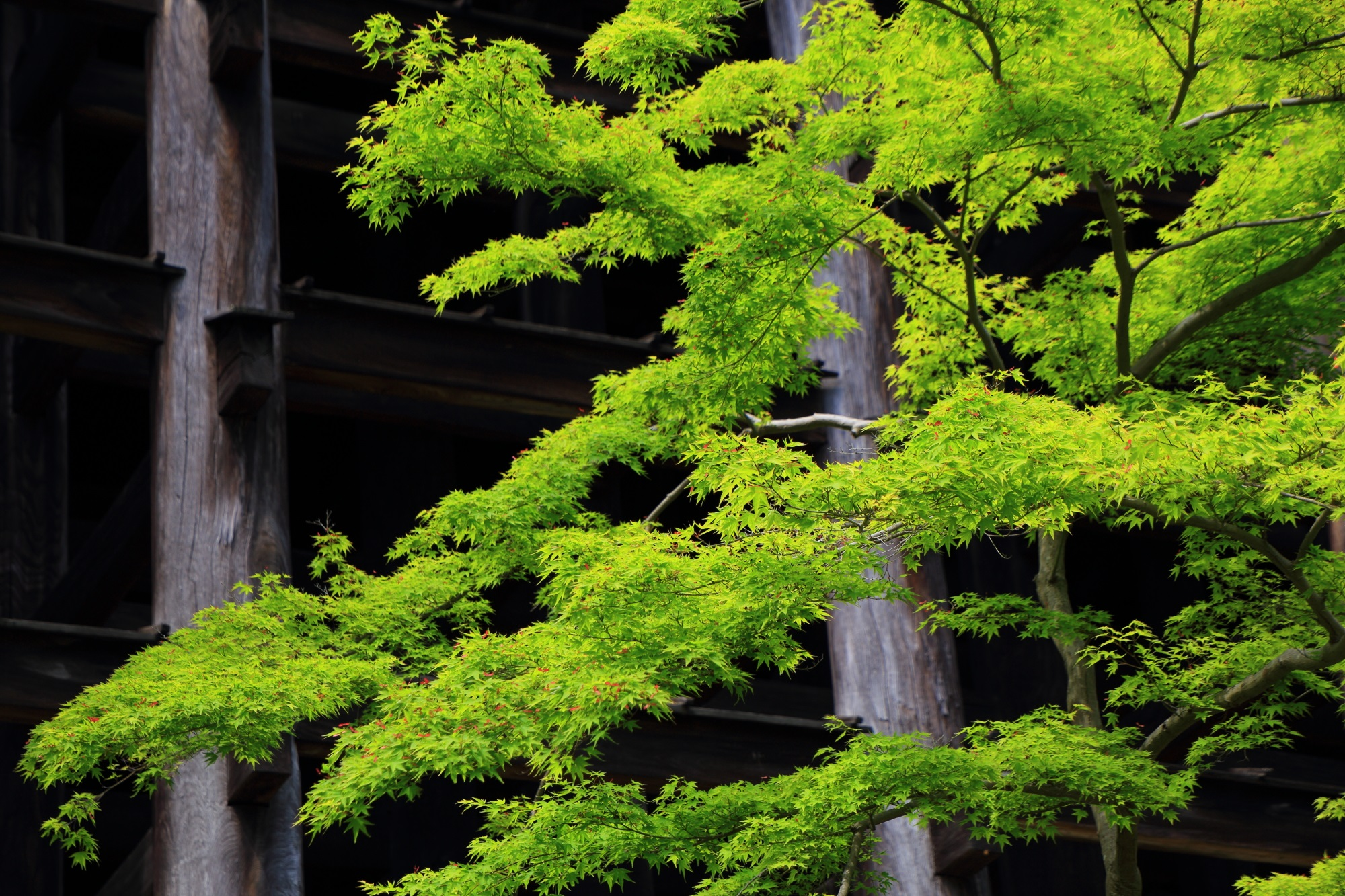 fresh green and blue maple Kiyomizudera-Temple Kyoto Japan