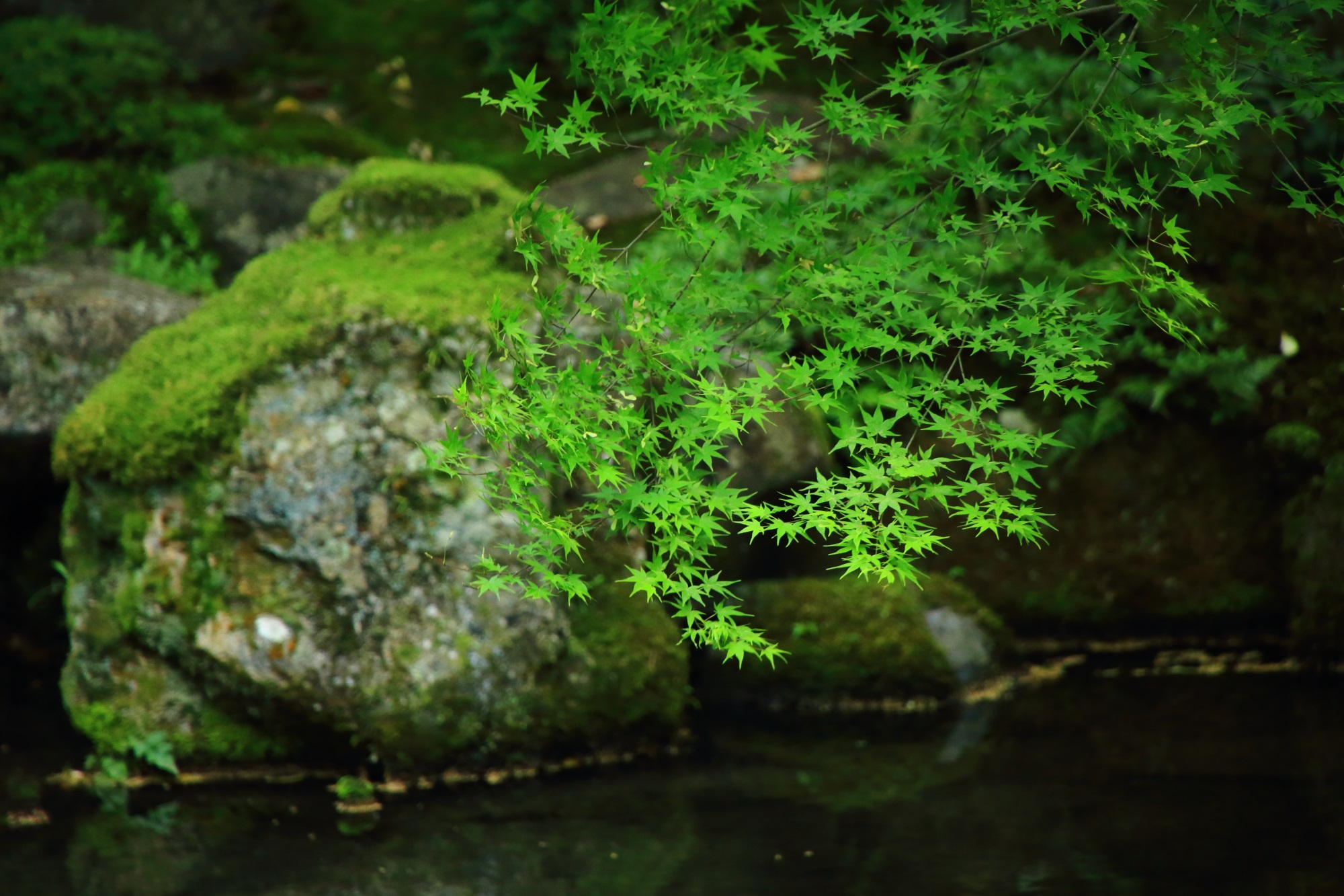 蓮華寺の庭園の鮮やかな新緑と池