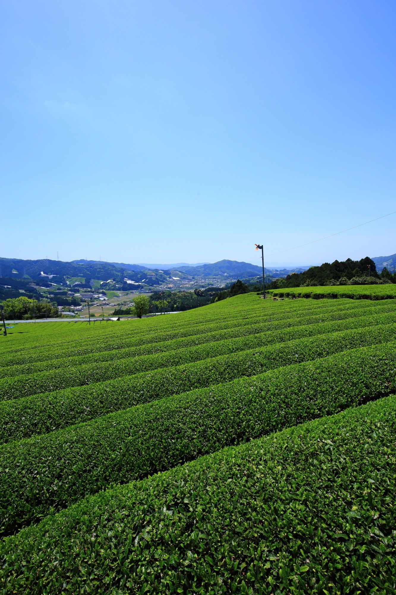 最高の青空と最高の緑につつまれる和束町原山のお茶畑