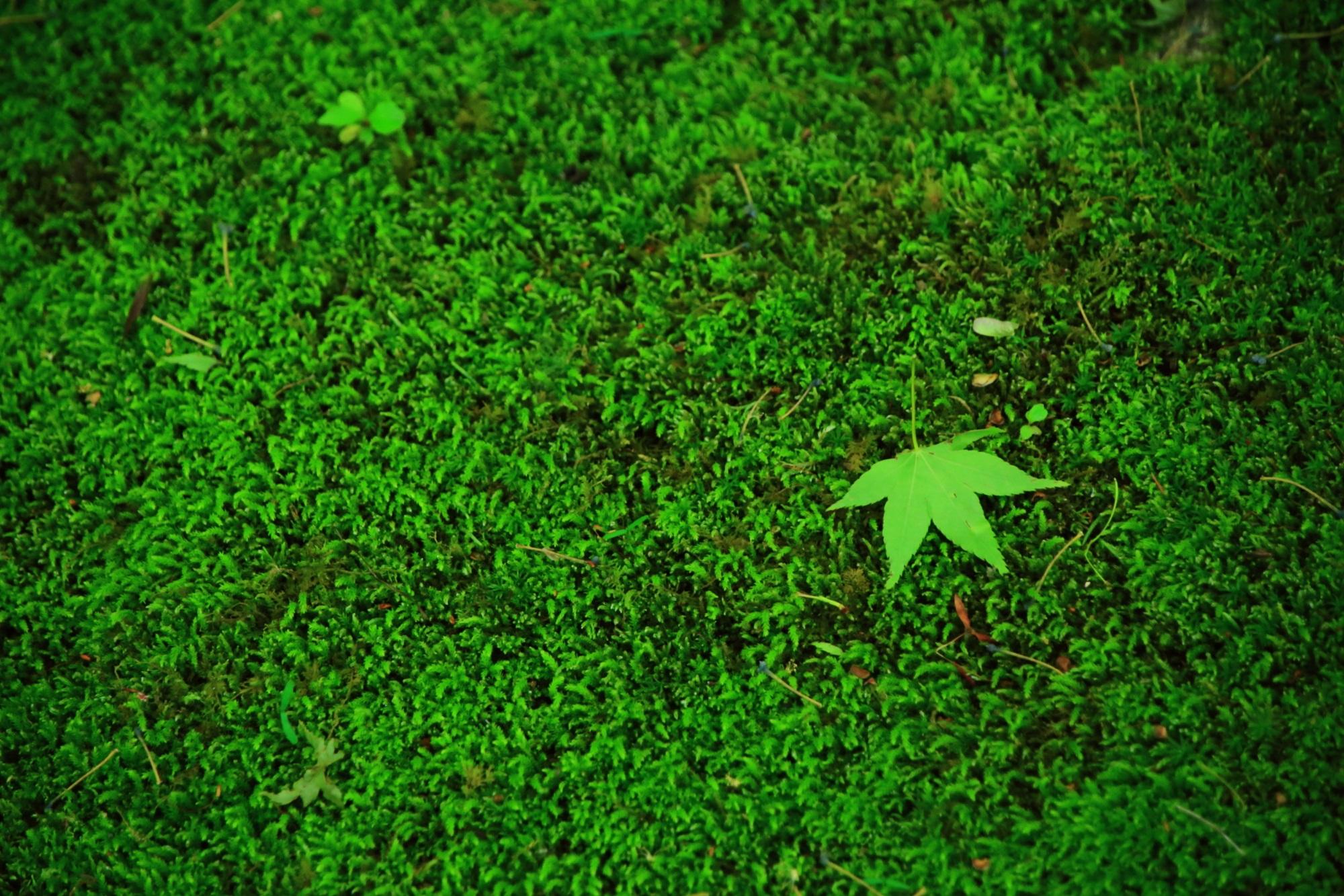 苔 蓮華寺 緑 綺麗