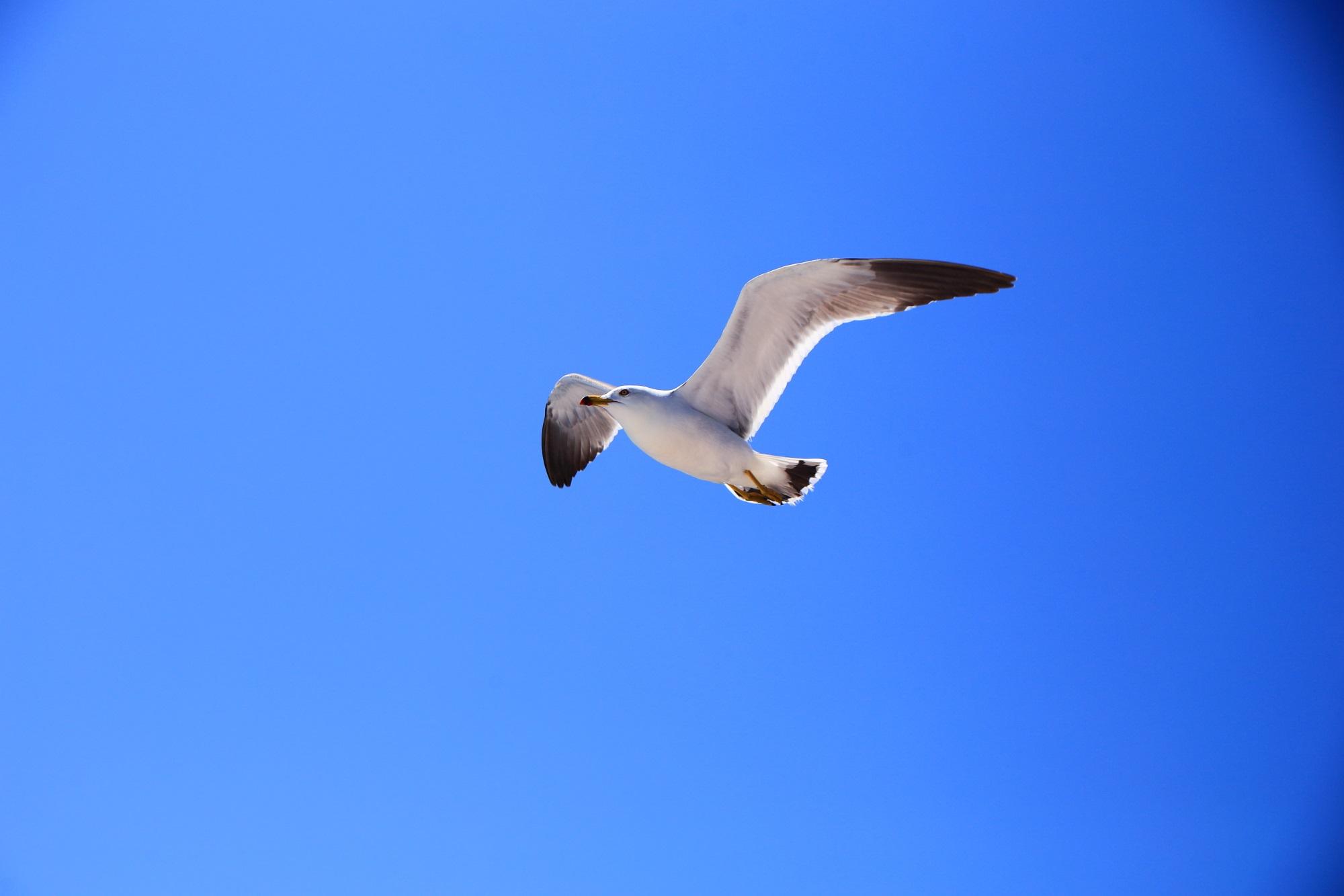 気持ち良さそうに青空を飛ぶ伊根湾のカモメさん