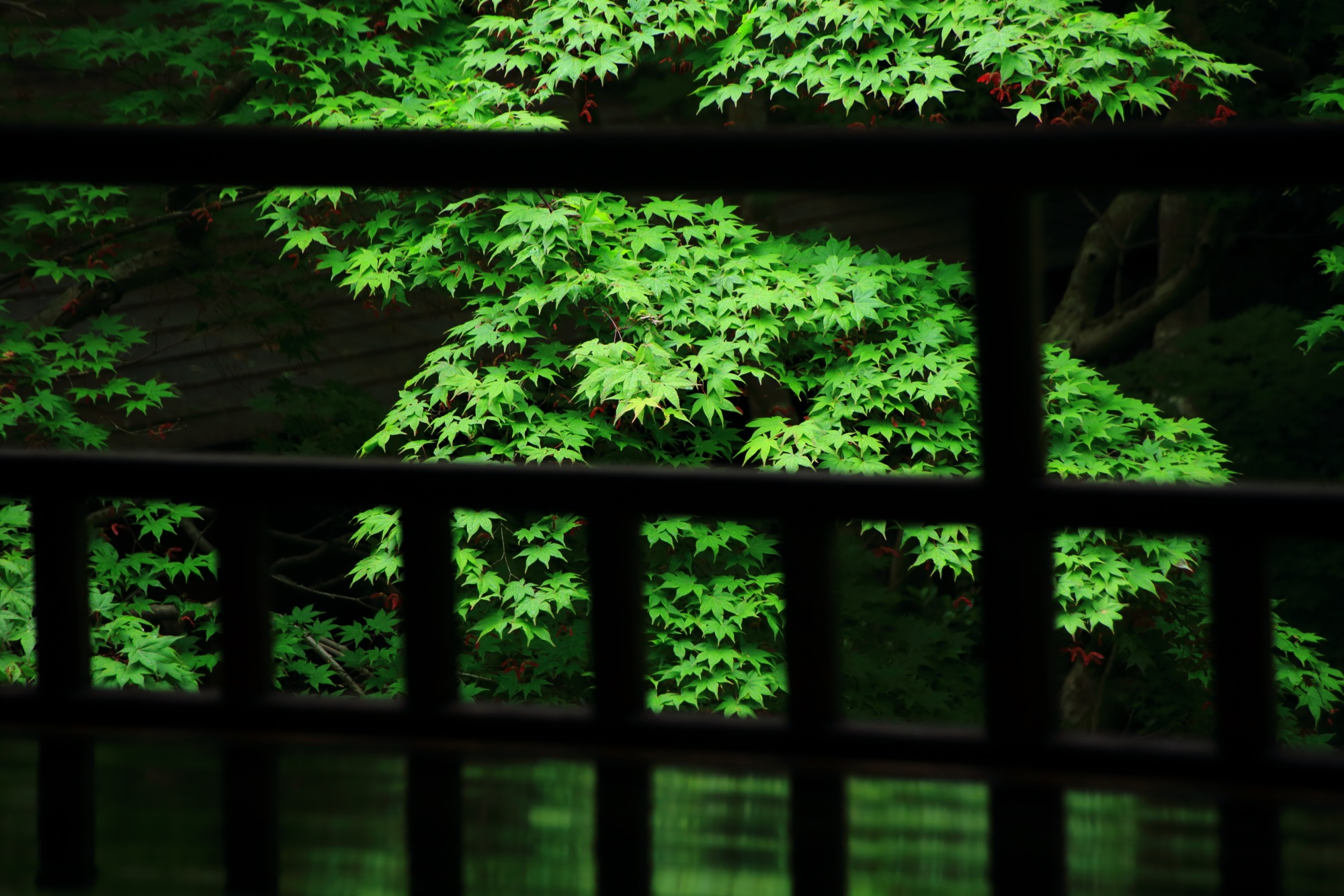 Kyoto Rurikoin-Tempel blue maple and fresh green