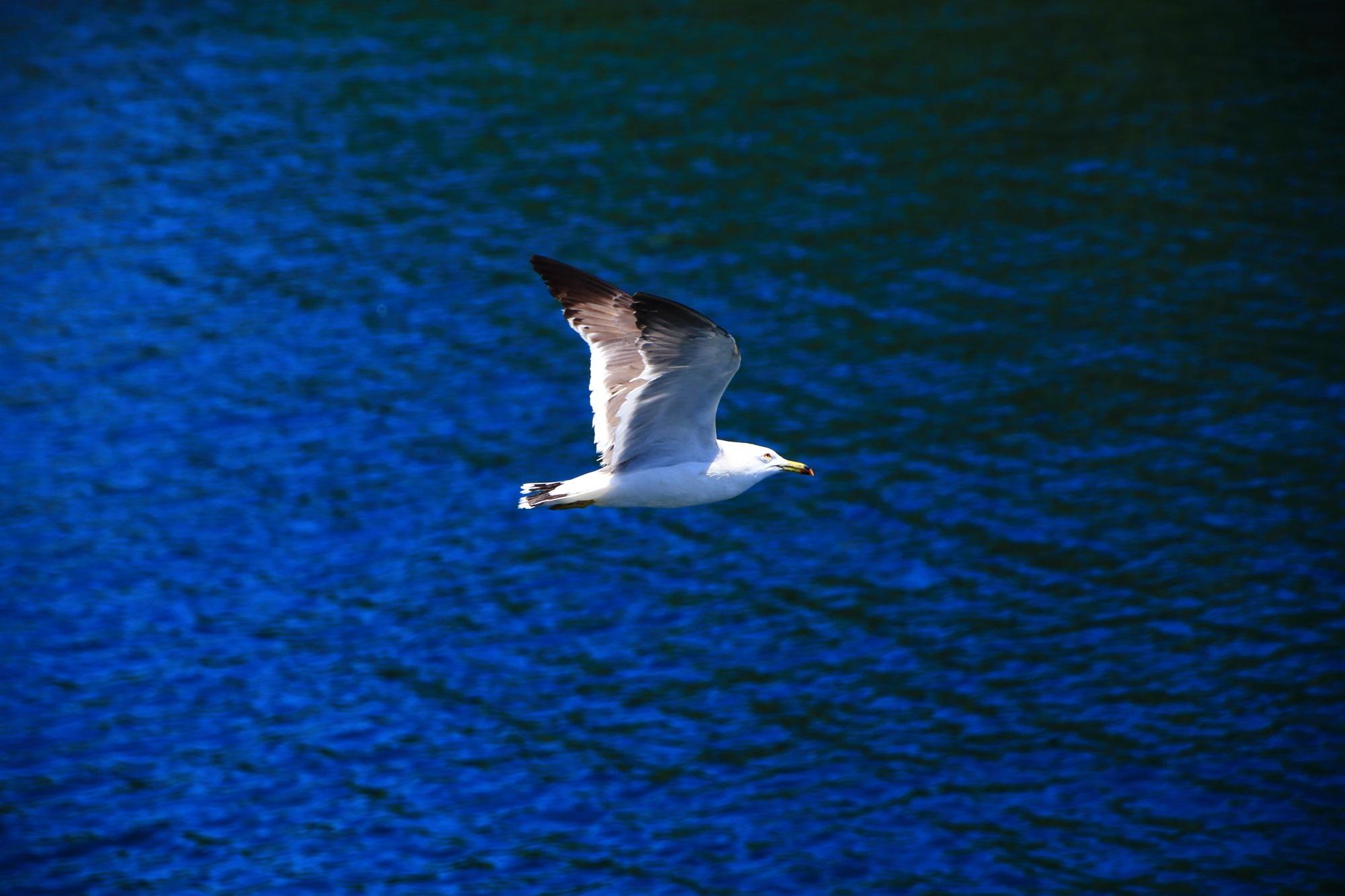 伊根の青い海の上を優雅に飛ぶカモメ