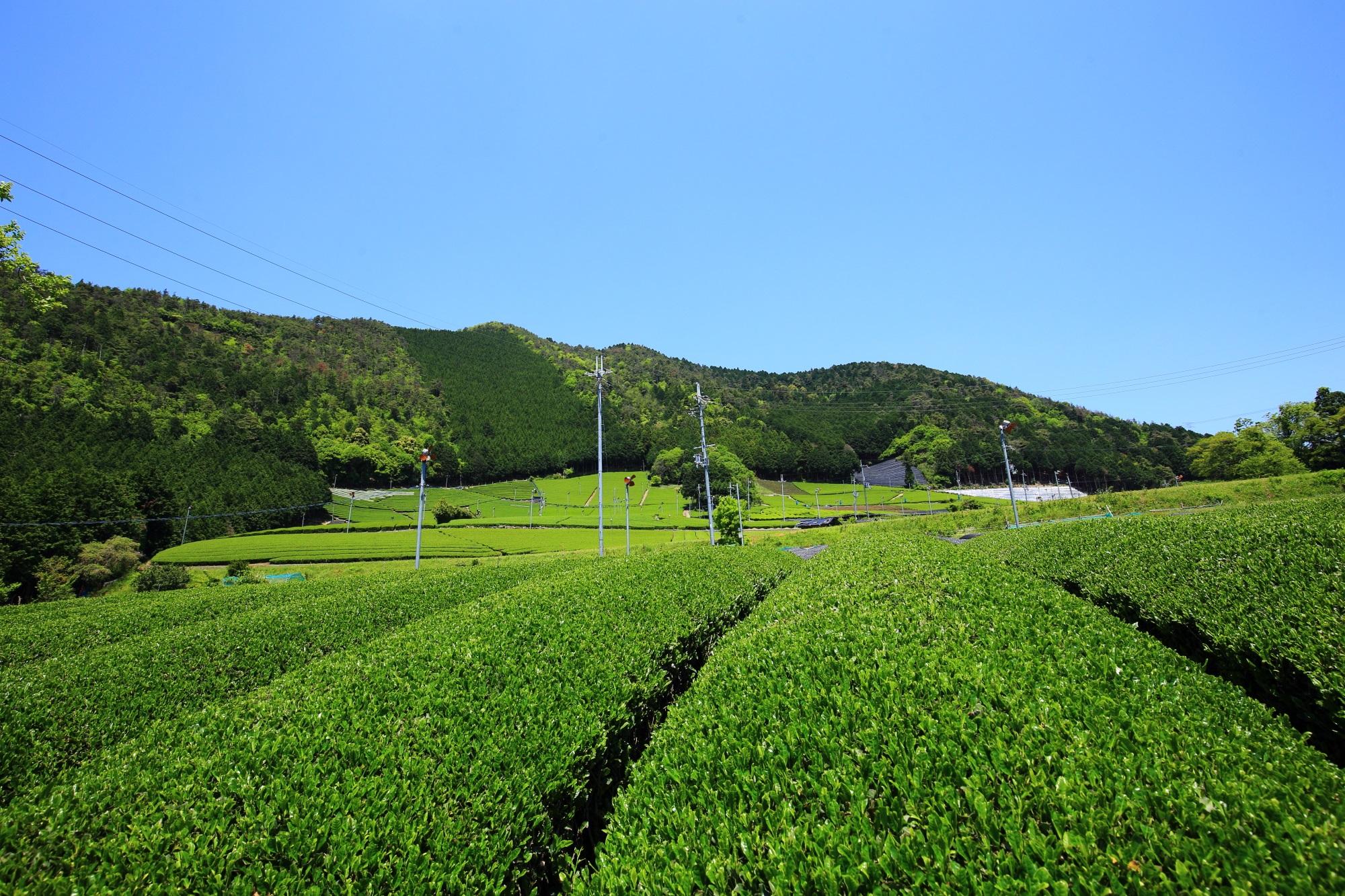 雲一つない青空の下で元気に育つ緑のお茶畑