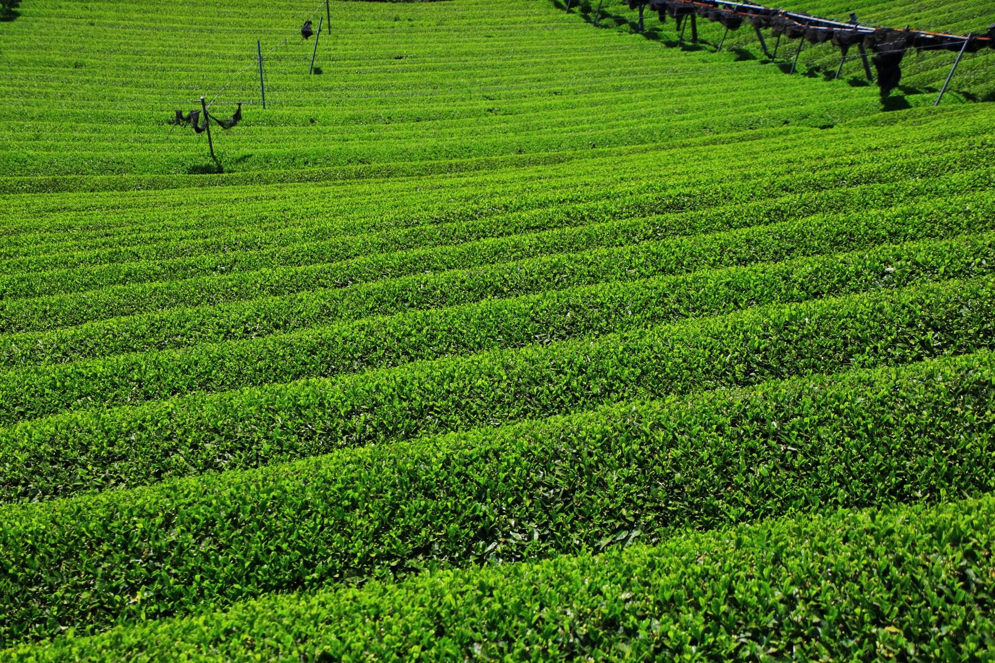 何重にも延々と続く綺麗なお茶畑ロール