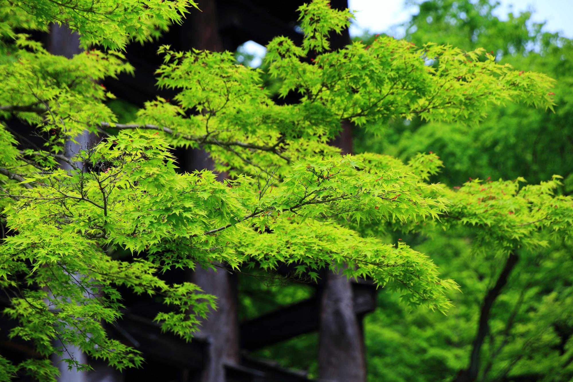 清水寺の本堂前の鮮やかな新緑