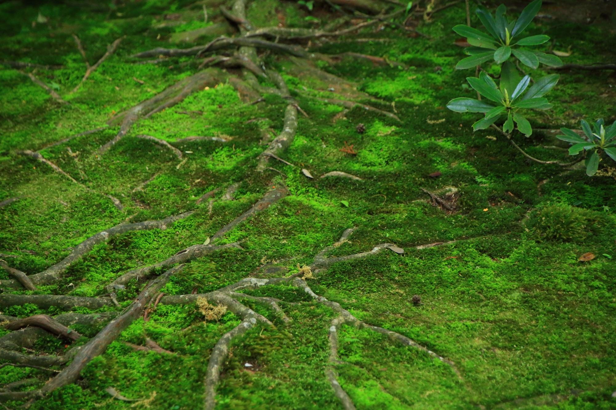 蓮華寺の見事な苔と木の根