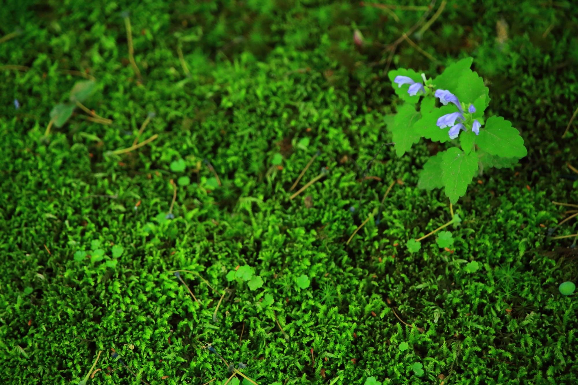 蓮華寺(れんげじ)の綺麗な緑の苔