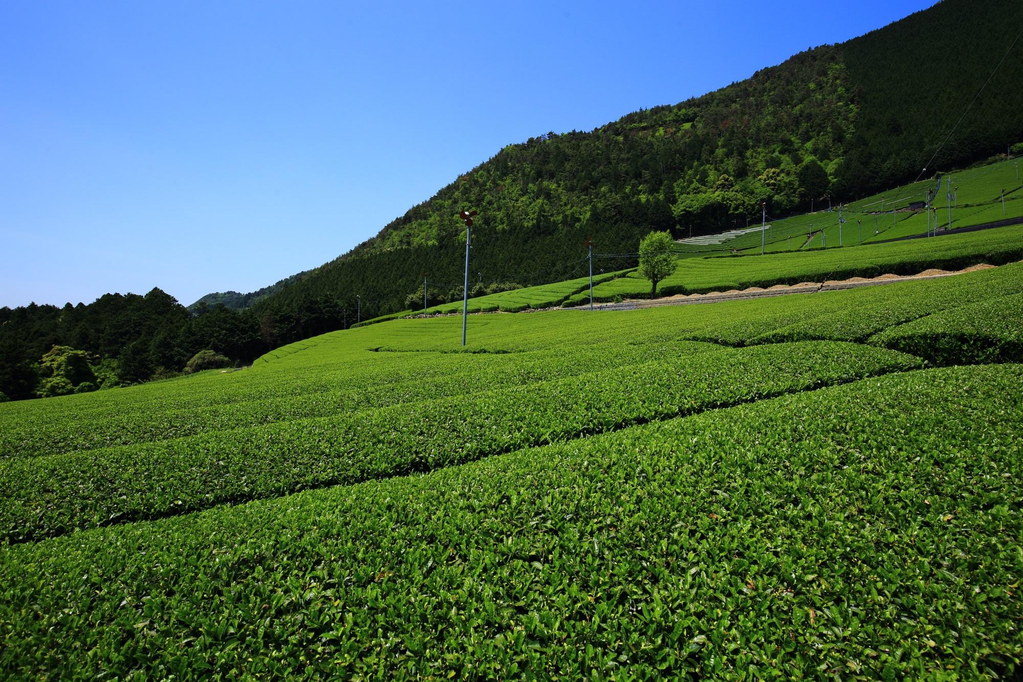鷲峰山(じゅうぶさん)の斜面にそってまだまだ広がる綺麗なお茶畑