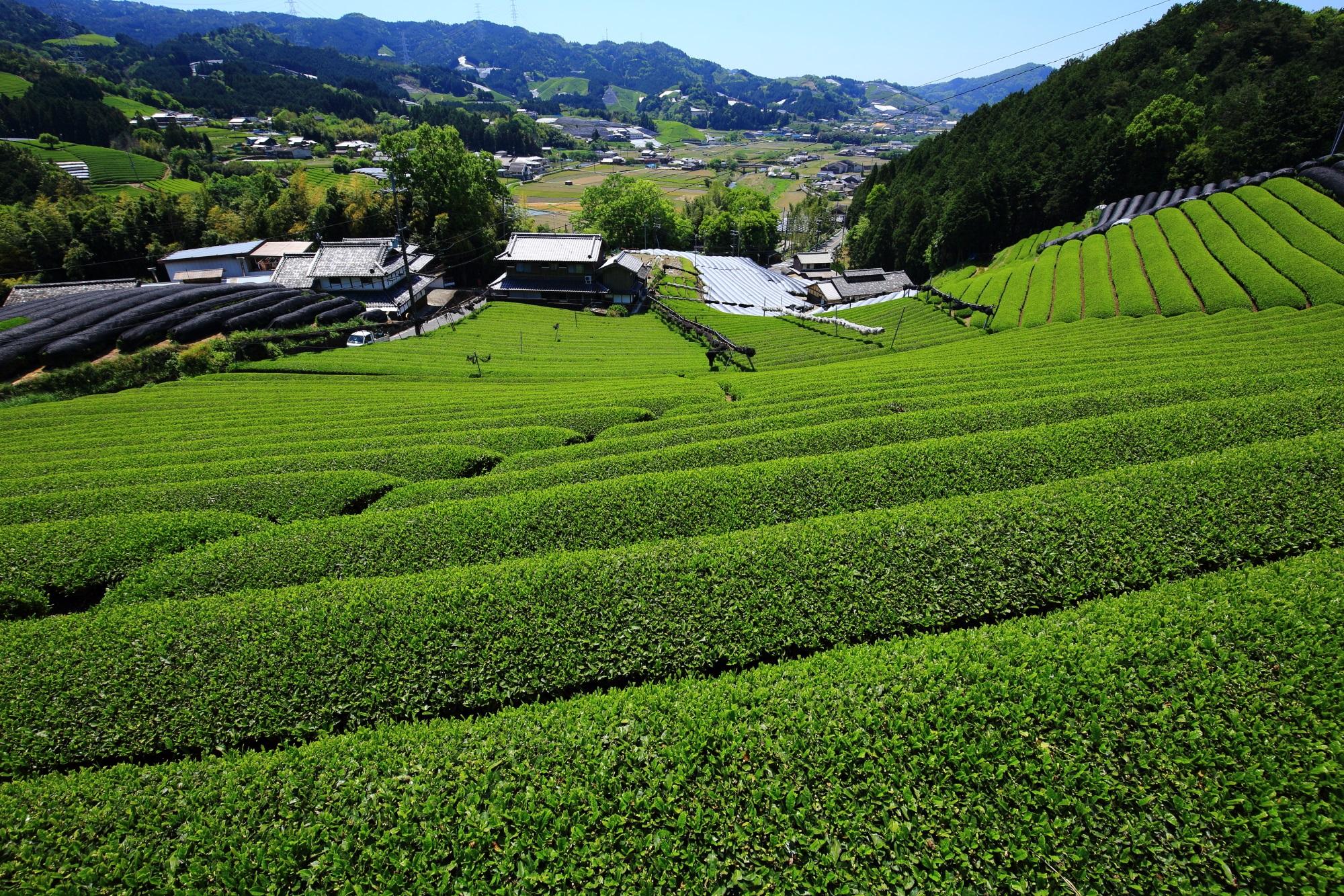 和束町原山の見下ろす見事なお茶畑