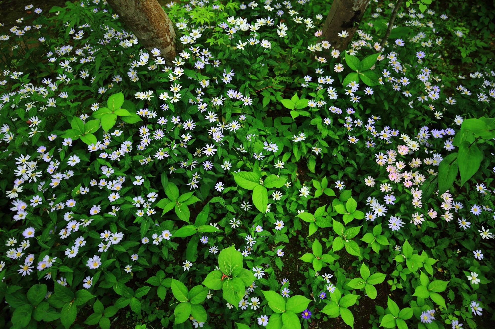 蓮華寺の可愛い花