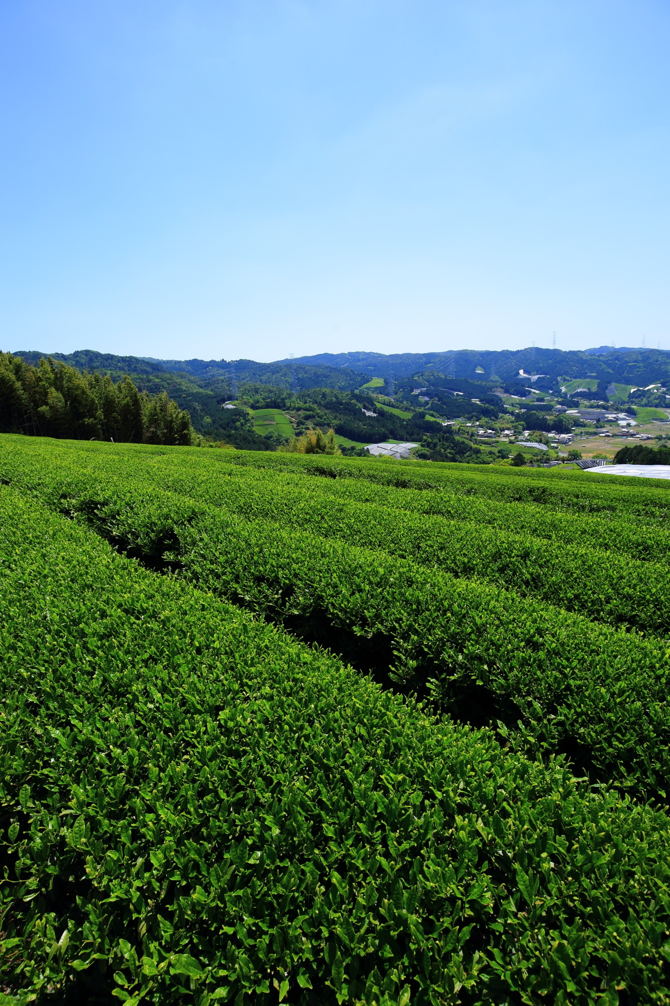 絶品の緑のお茶畑につつまれる春の長閑な風景