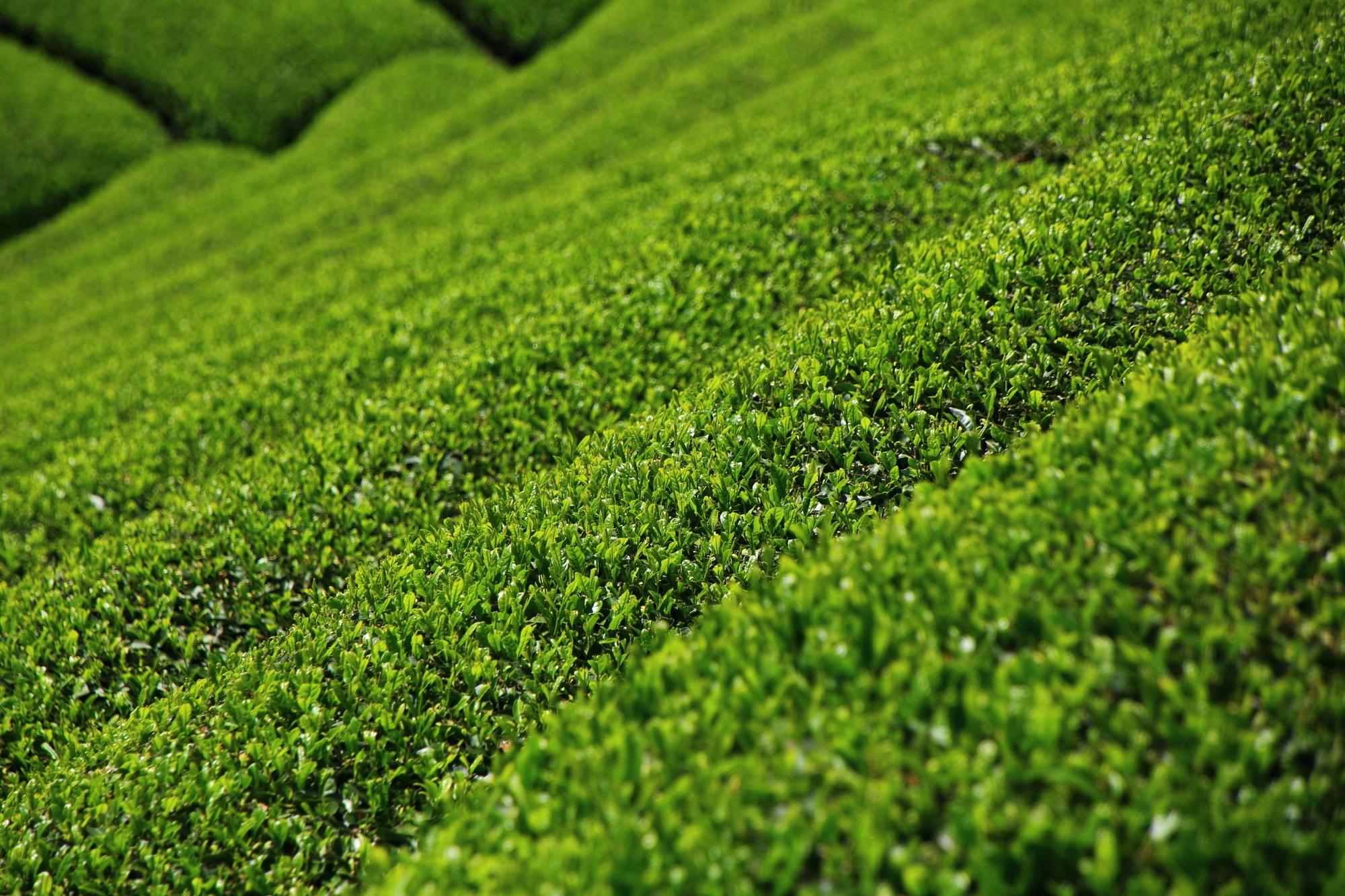 眩しく煌びやかな緑のお茶畑