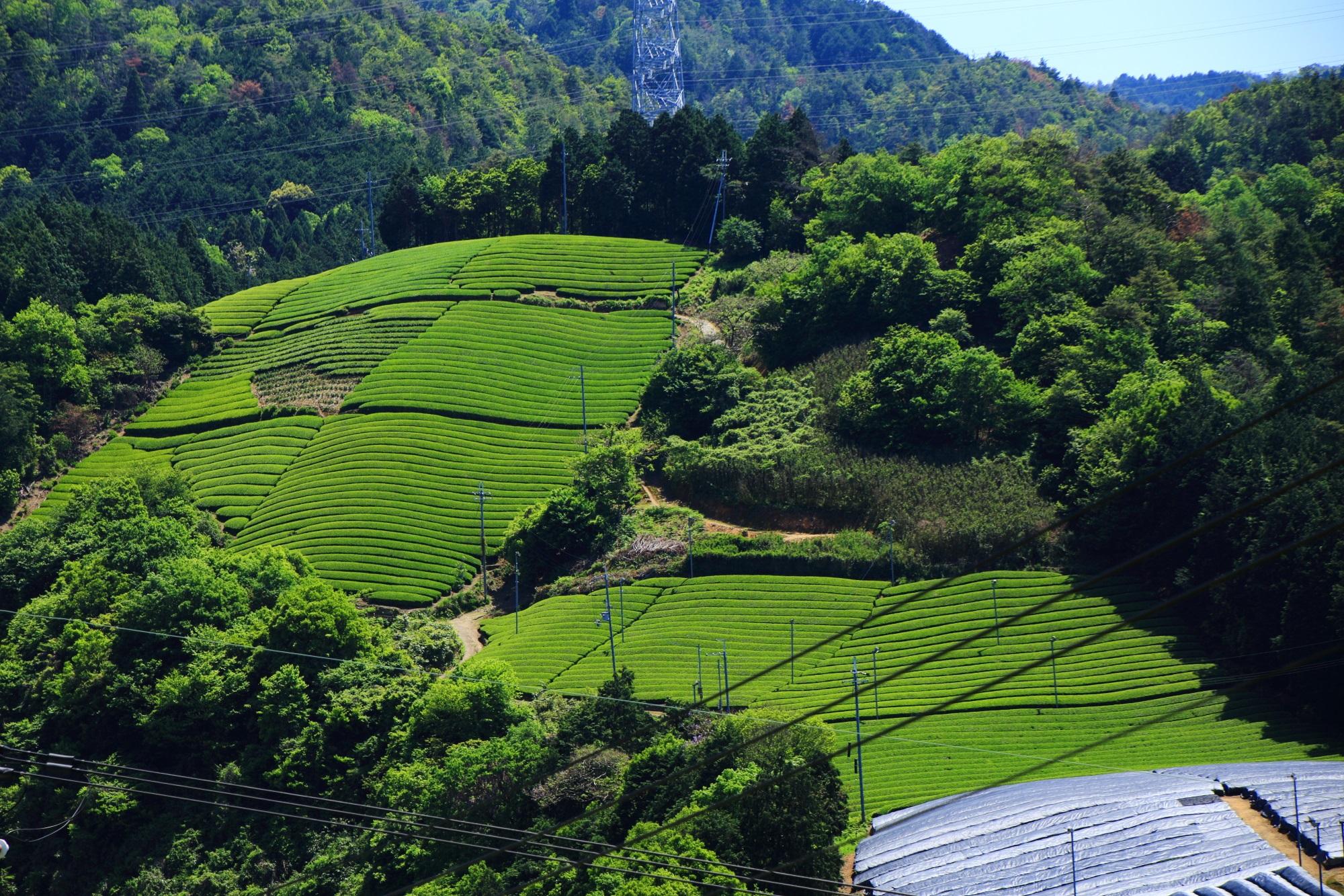 向かいの山に広がる美しい緑のお茶畑