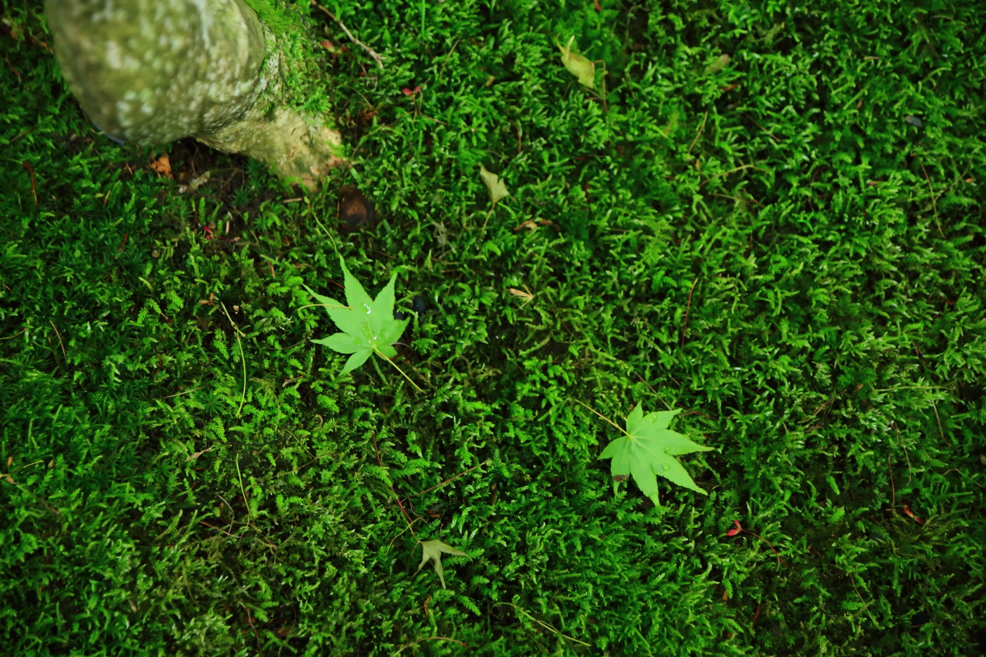 苔 瑠璃光院 八瀬 緑 綺麗