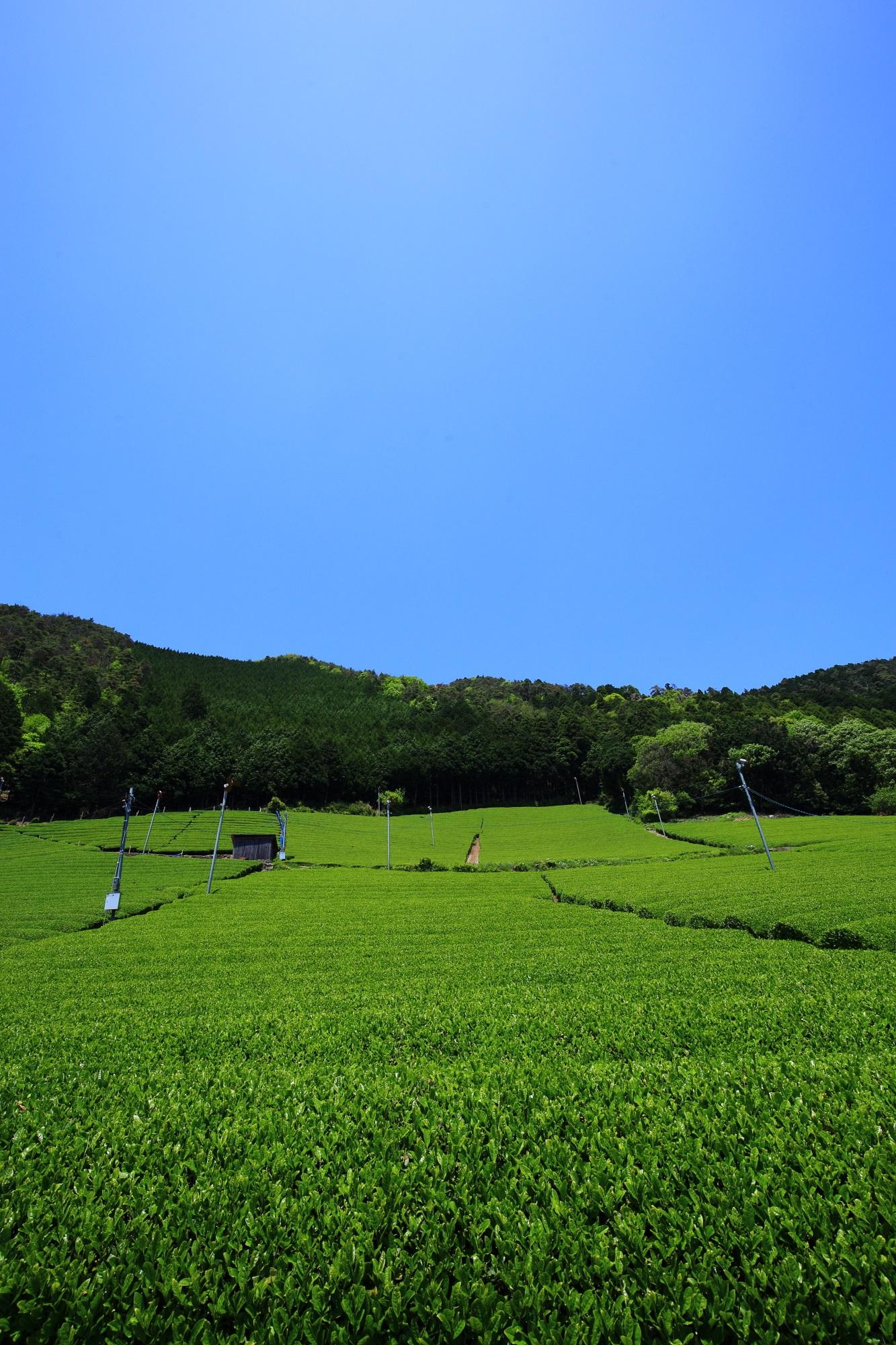 和束町原山地区の素晴らしいお茶畑と緑の情景