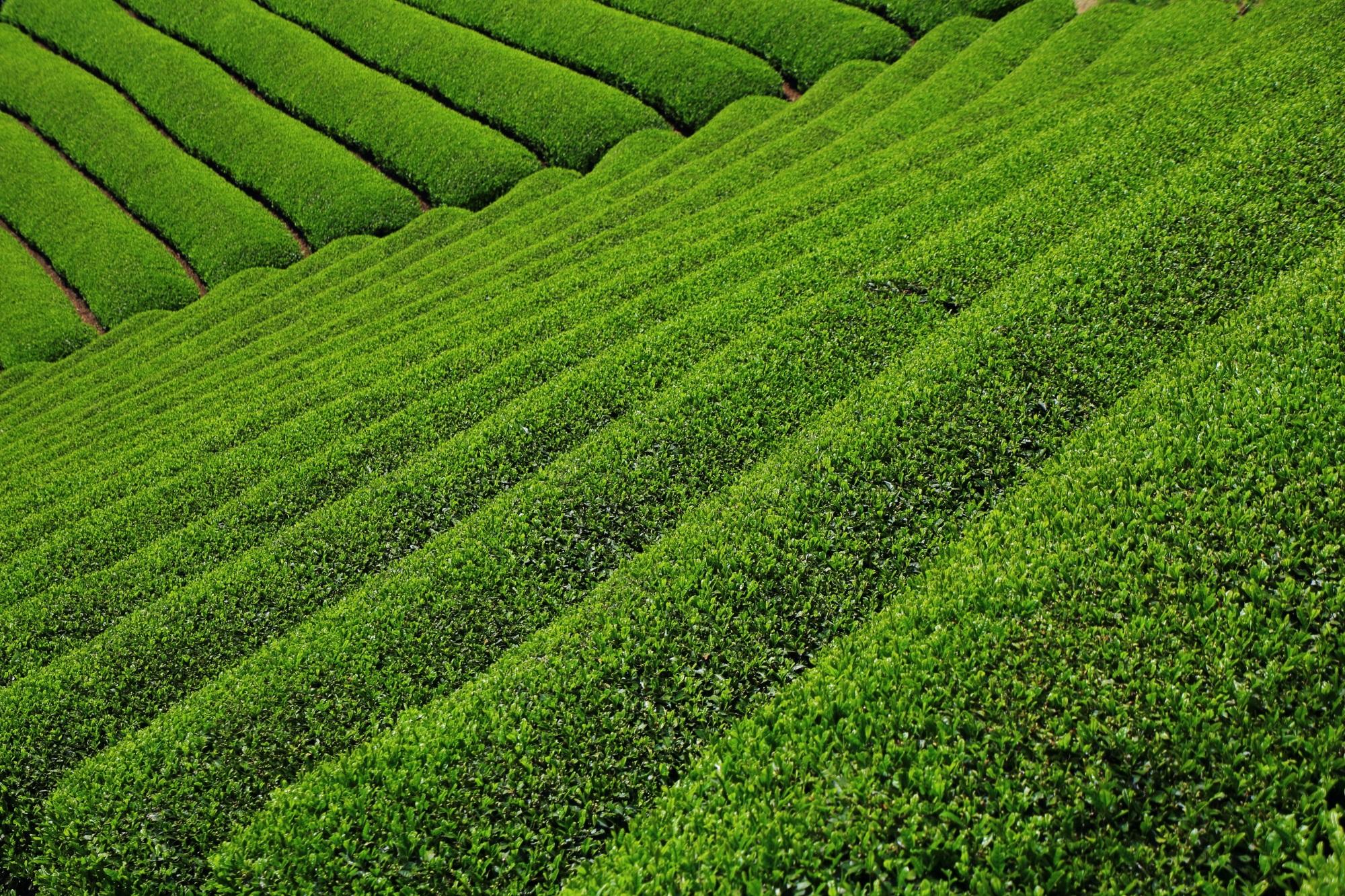和束町原山の美しすぎるお茶畑