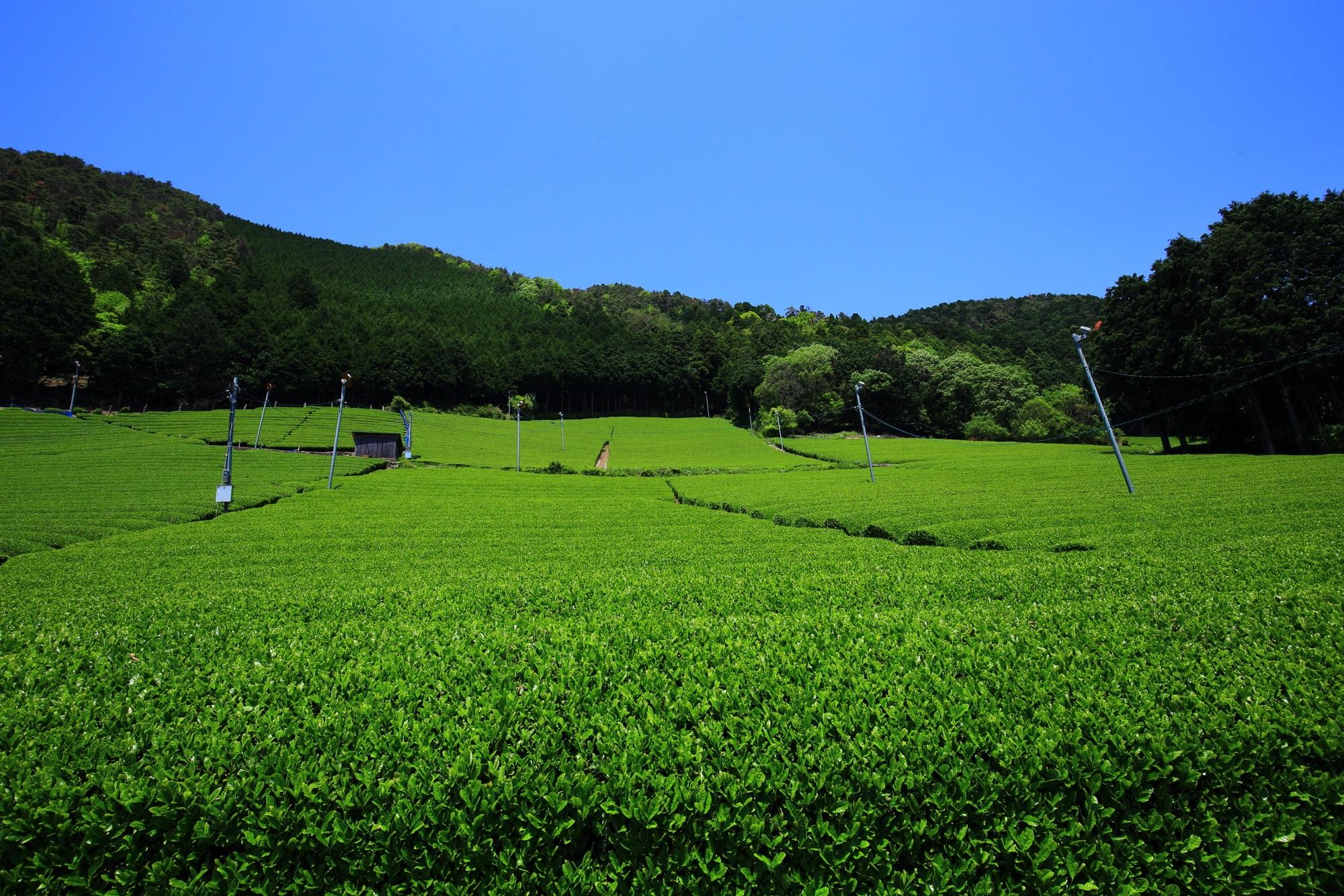 和束町 原山の茶畑 一面に広がるお茶畑と絶品の緑