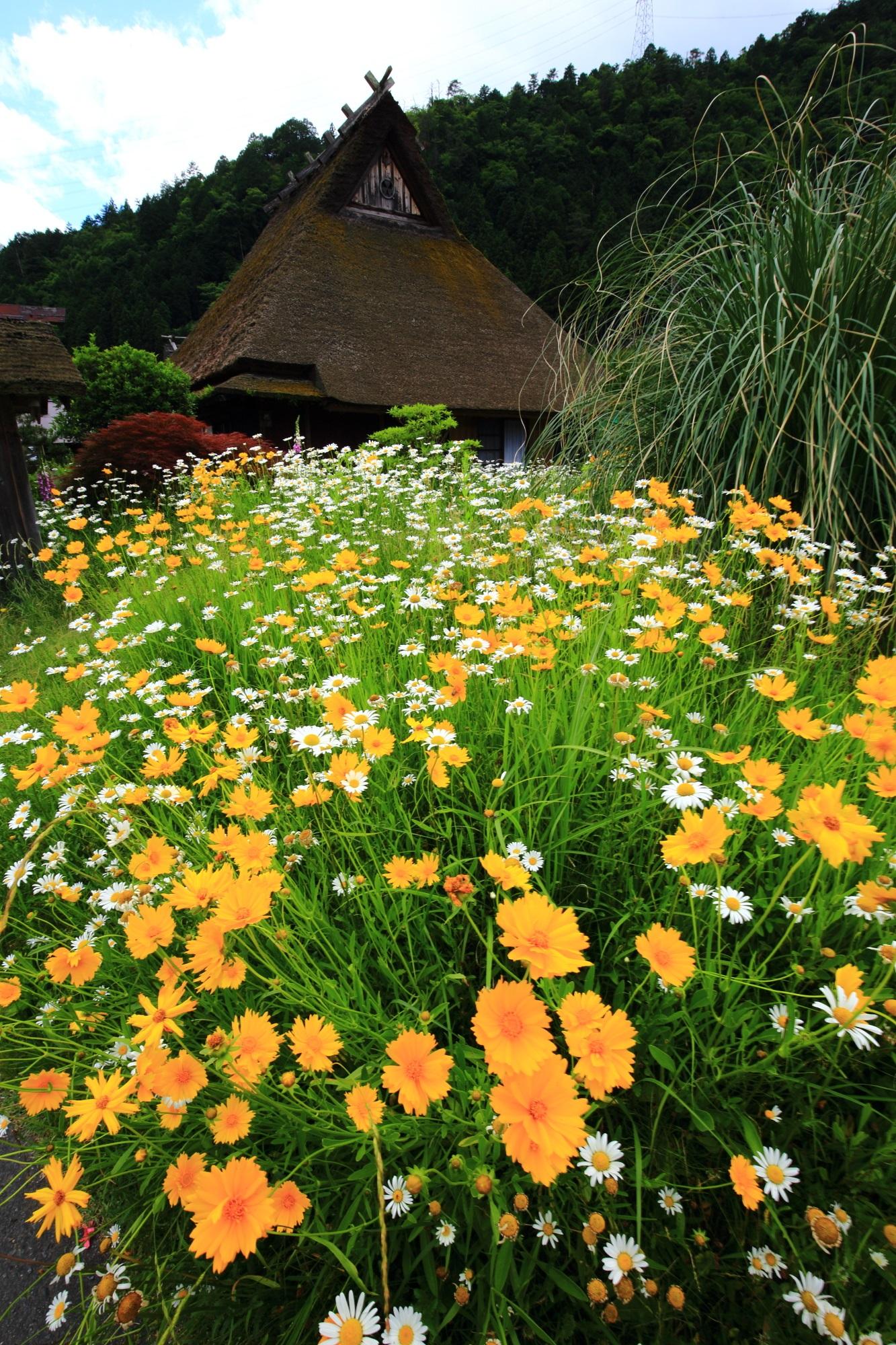 かやぶき屋根を彩る黄色と白の花々