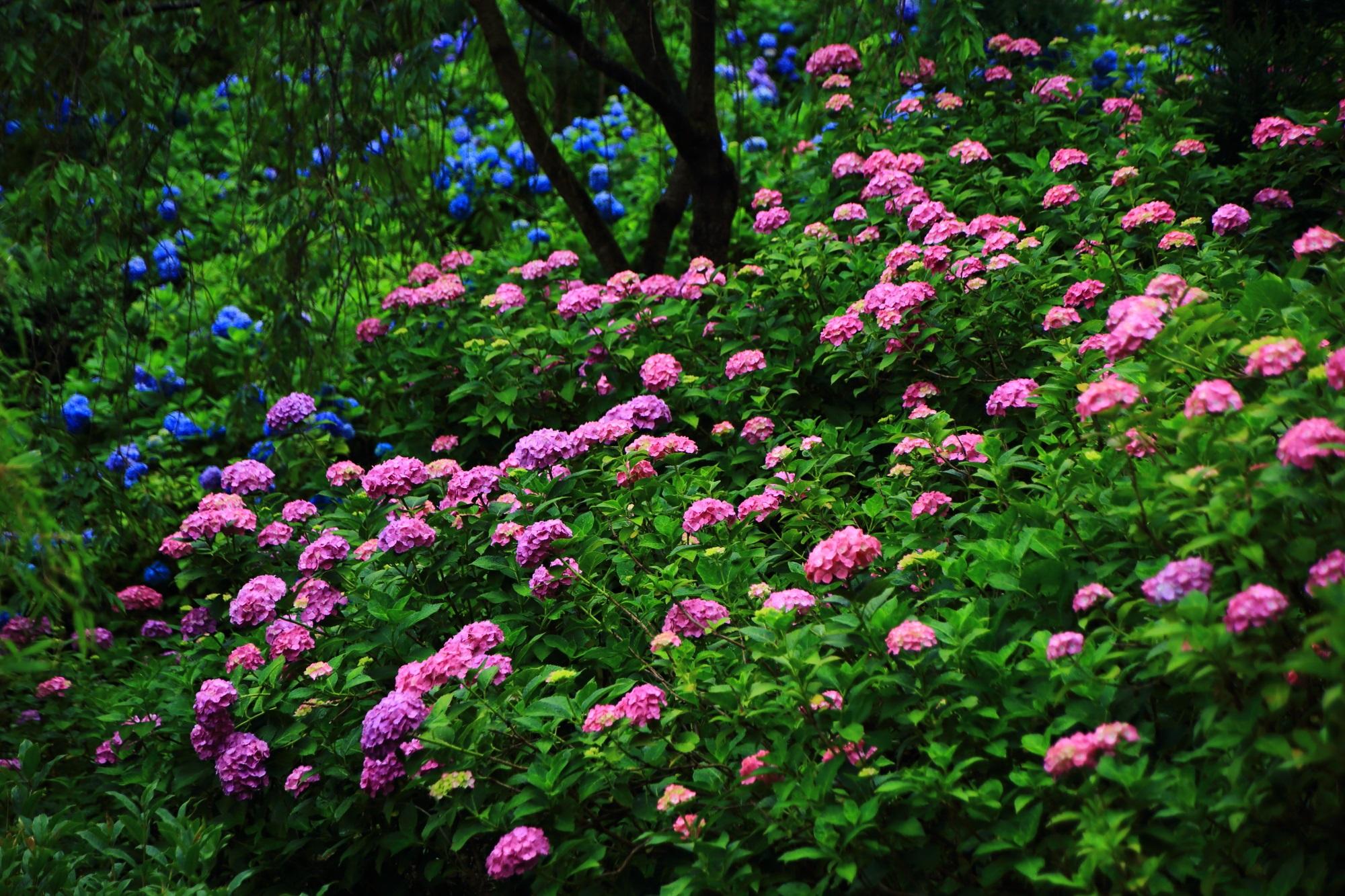 雨で煌く鮮やかなピンクの紫陽花