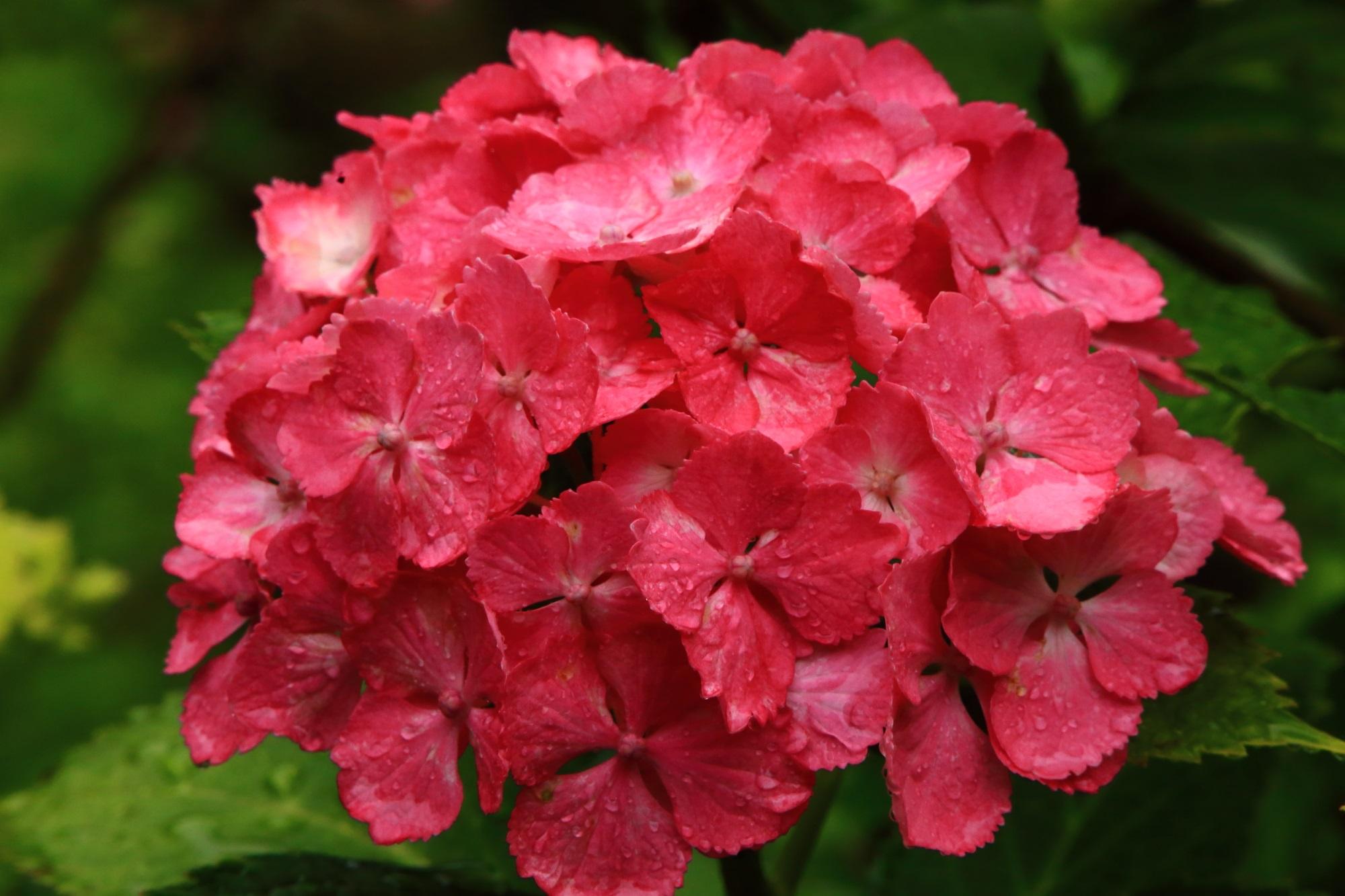 鮮烈な色合いの赤系の紫陽花