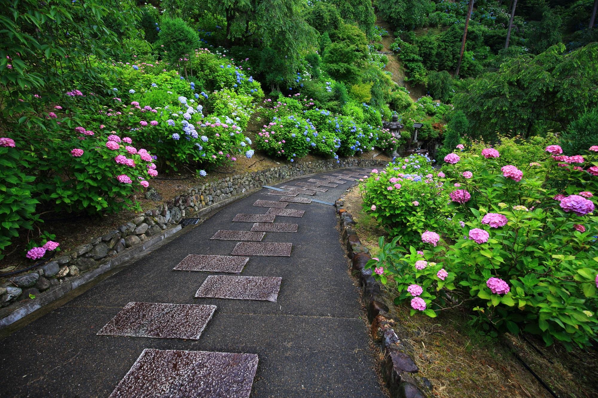 石の参道の両脇に咲く色とりどりの紫陽花