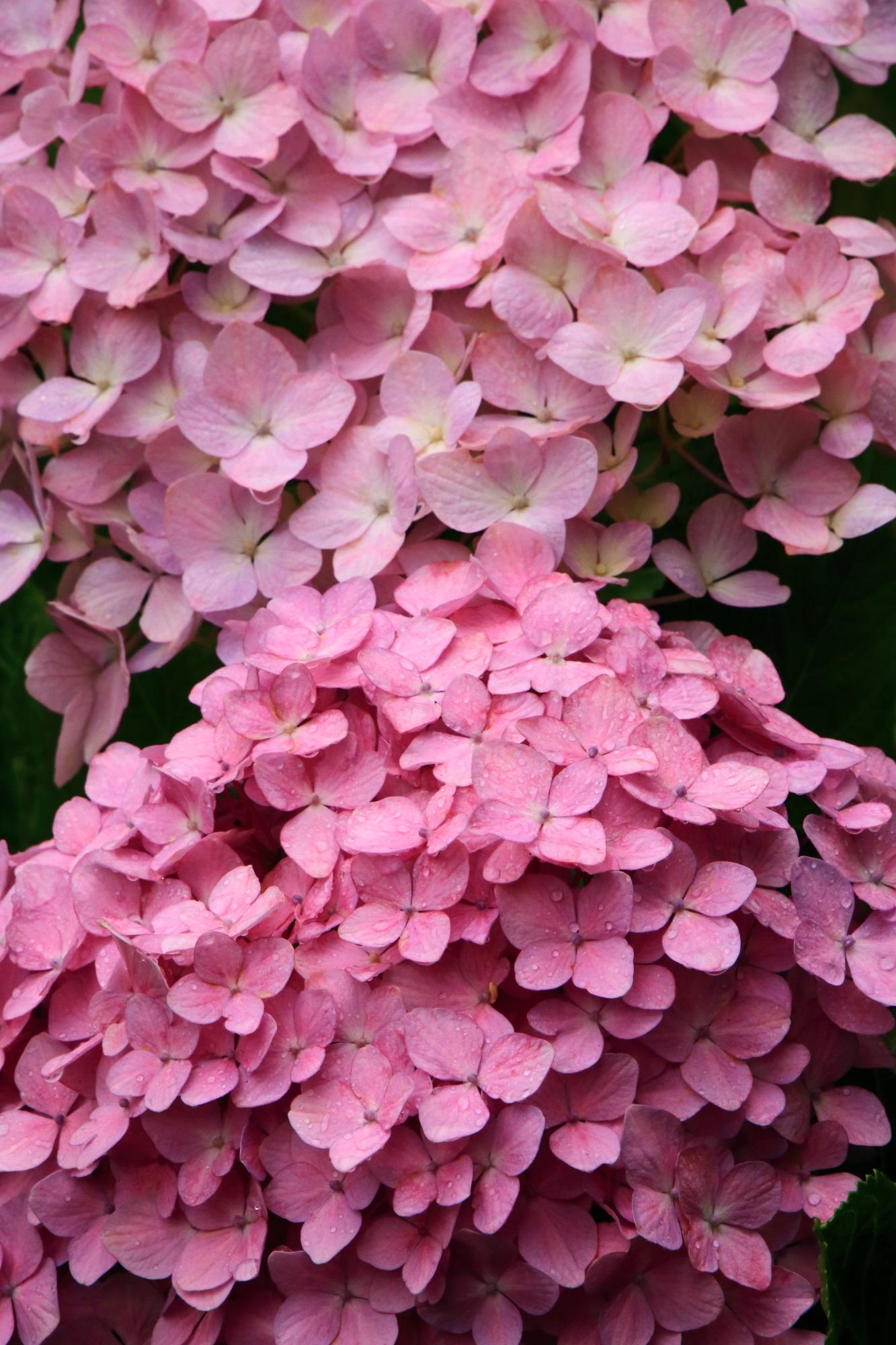 善峯寺の雨に濡れる極上のピンクの紫陽花