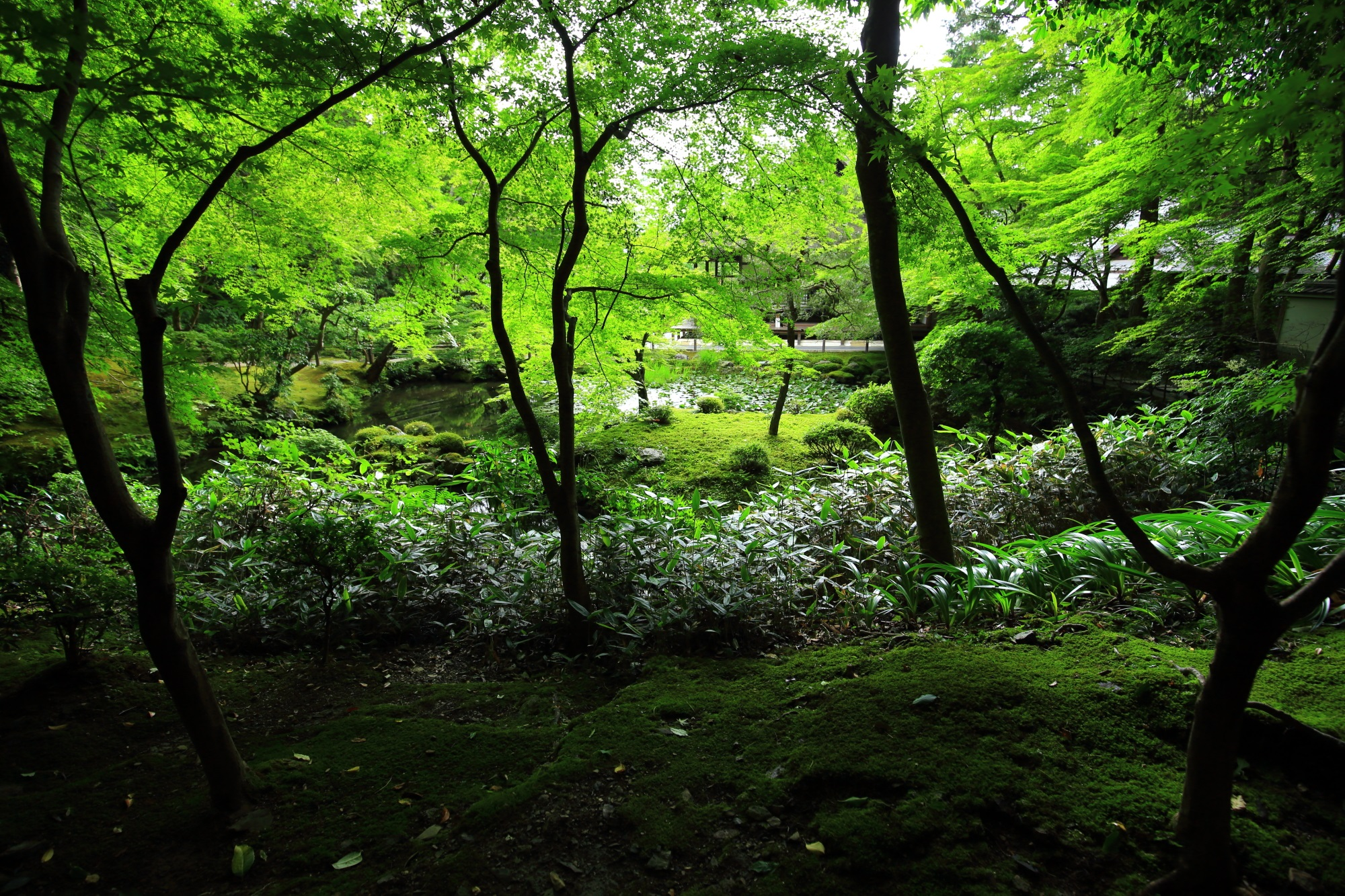 blue maple and fresh green Nanzenin-Temple in Kyoto Japan