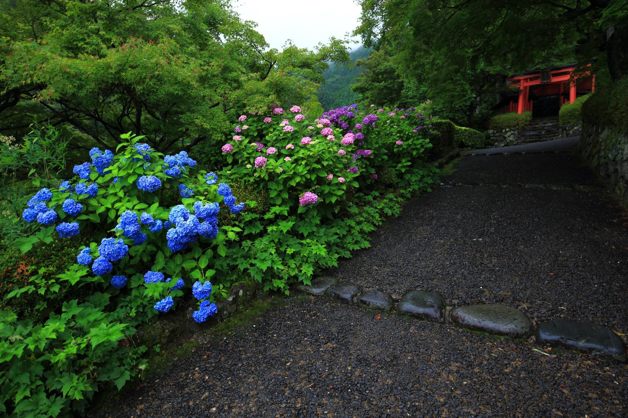 赤い鳥居が奥に見える善峯寺の稲荷社と紫陽花