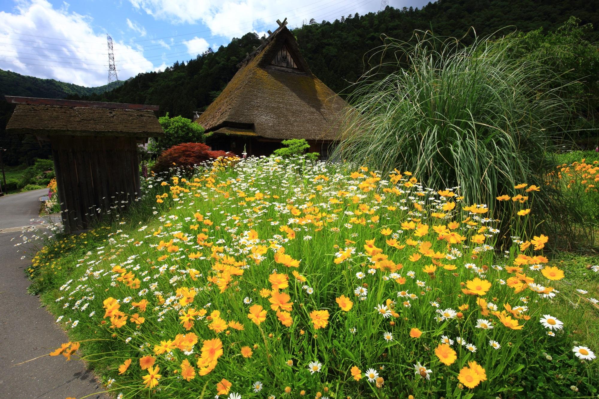 やはりかやぶき屋根が絵になる華やかな白と黄色の花