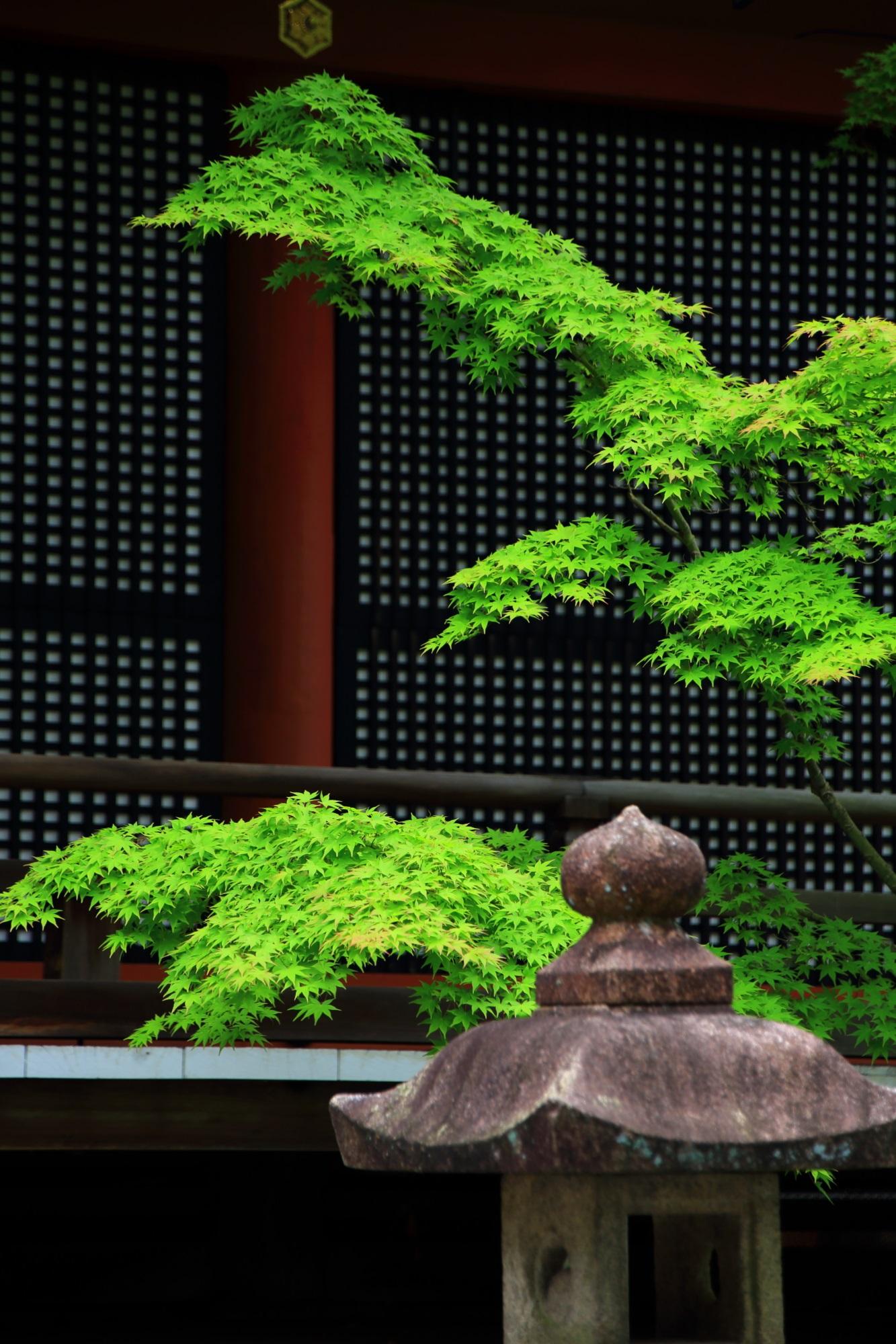 永観堂の阿弥陀堂前の灯籠と見事な青もみじ