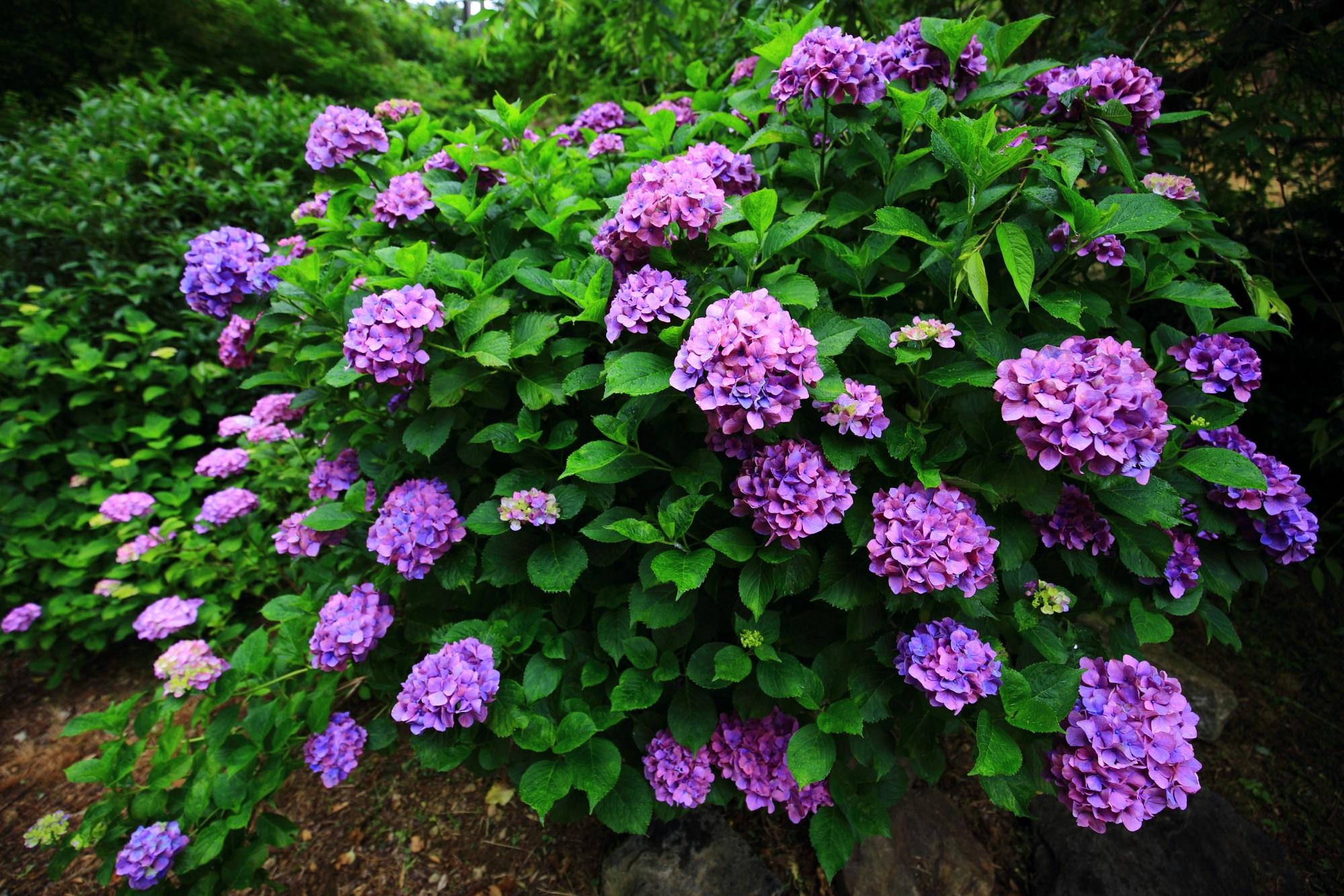 善峯寺の妖艶で幻想的な色合いの紫の紫陽花