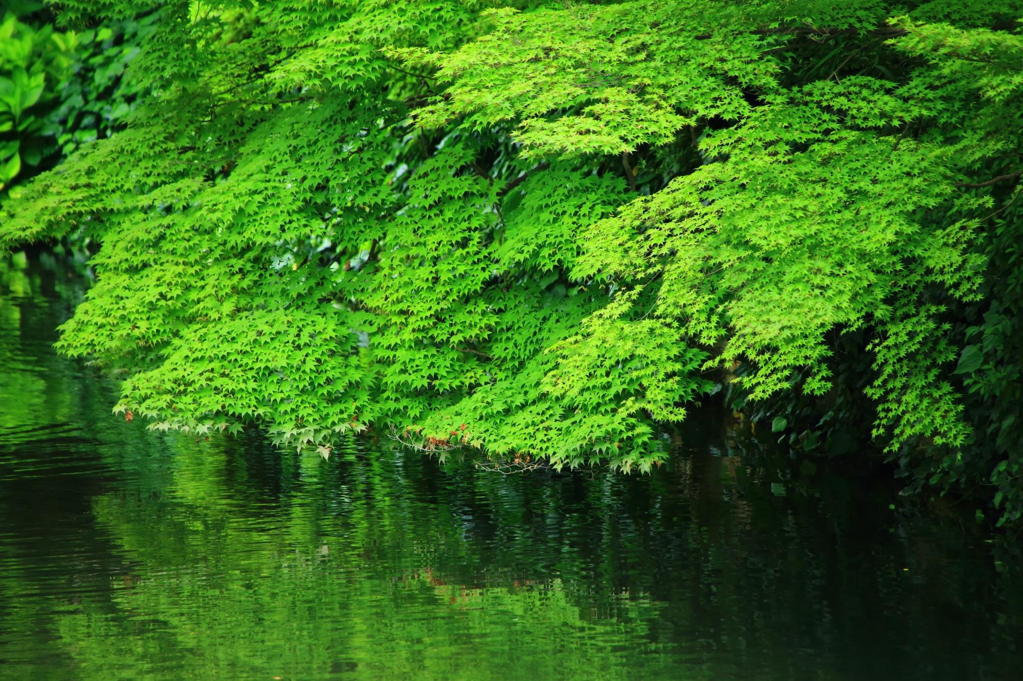 永観堂の圧巻の青もみじと新緑