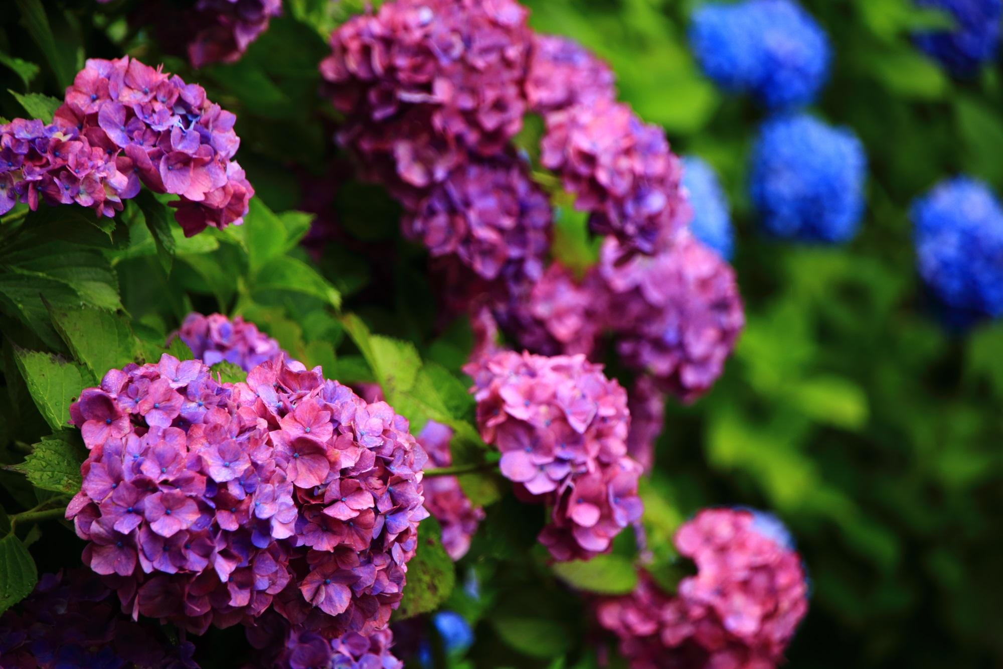 艶やかな色合いの濃い紫の紫陽花