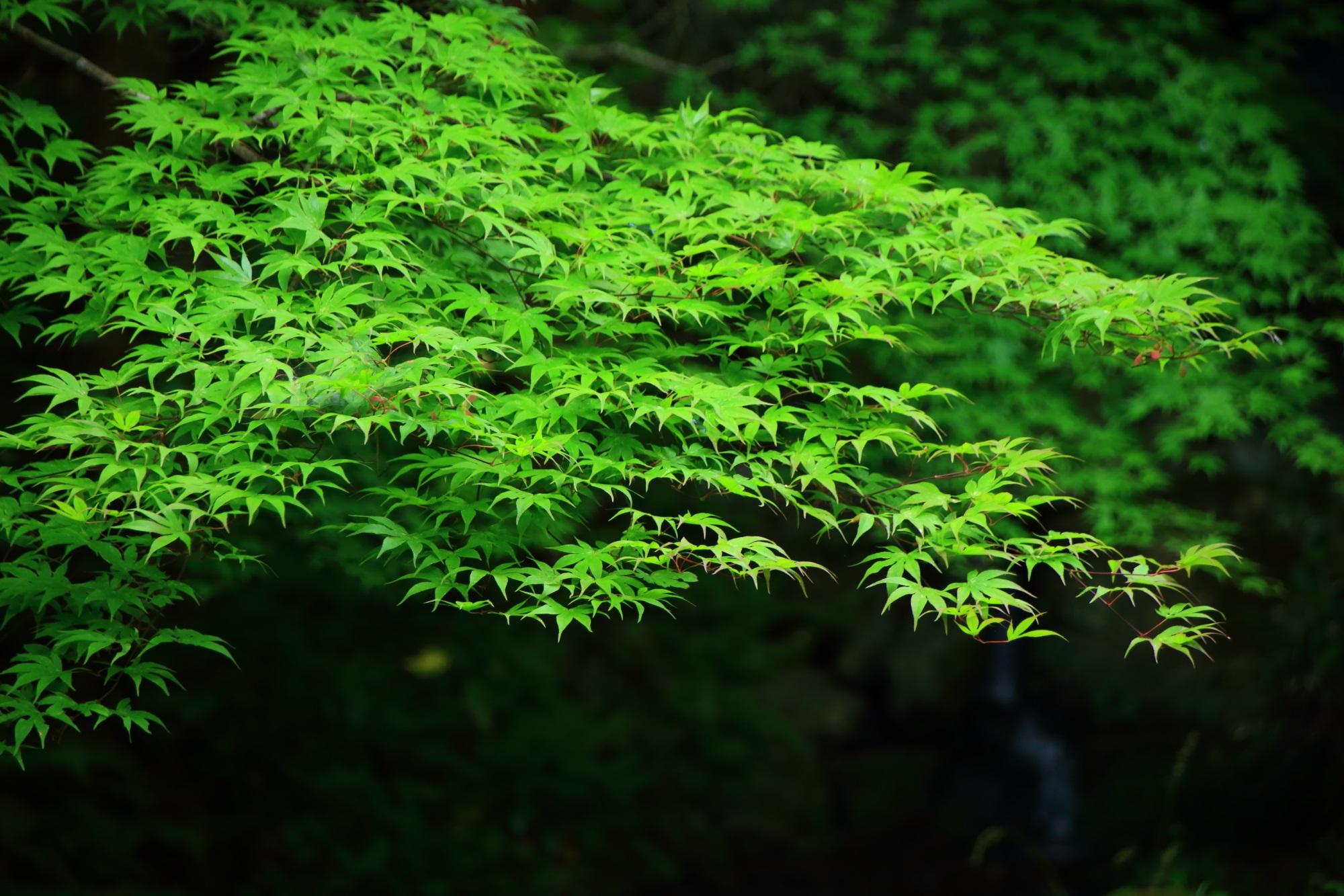 青もみじ 南禅院 鮮やか 緑