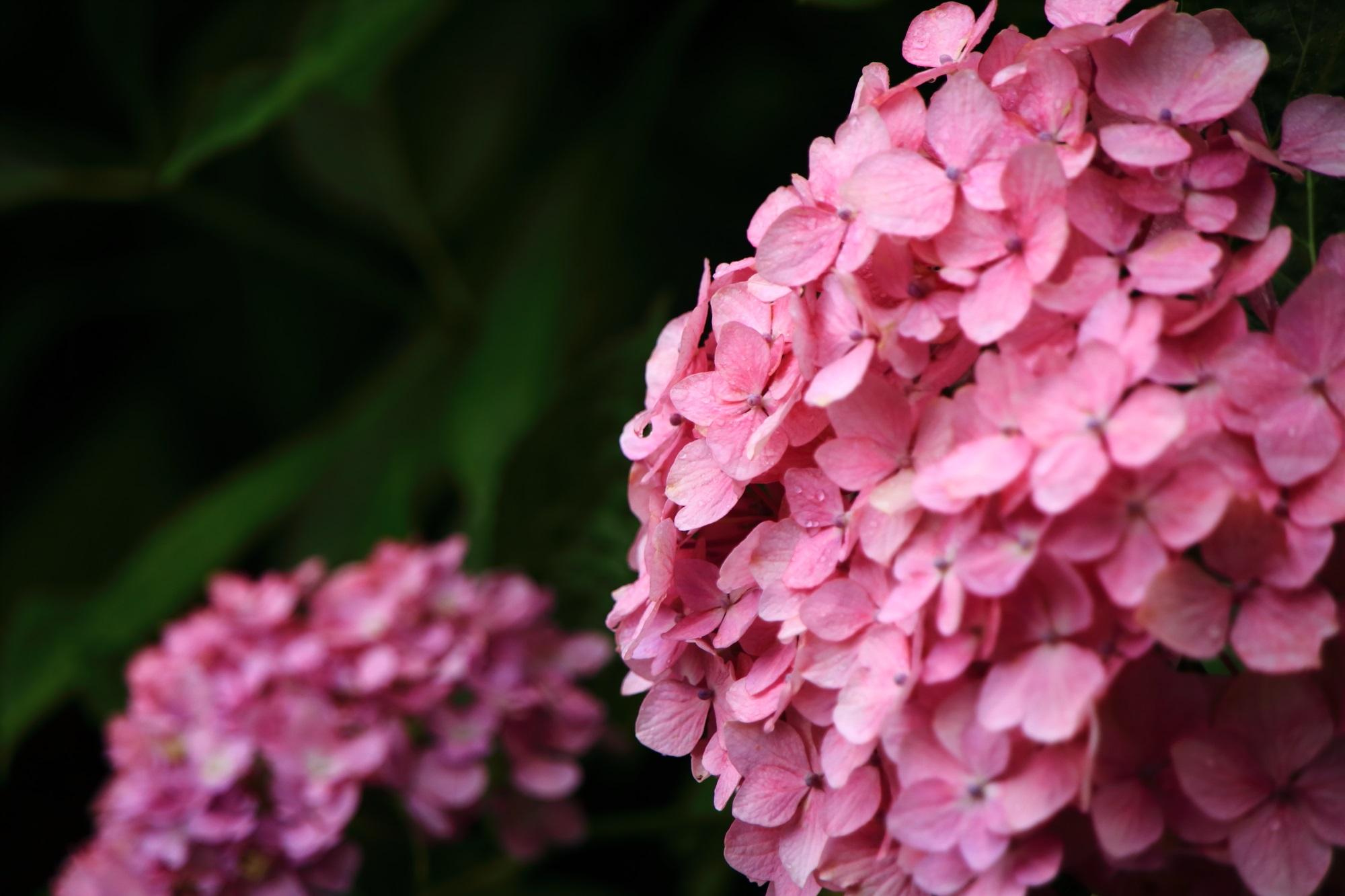 善峯寺の明るく可愛いピンクの紫陽花
