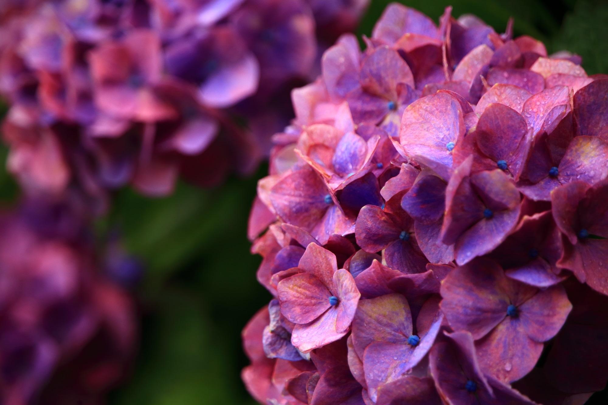 雨に濡れて煌く鮮やかな紫陽花