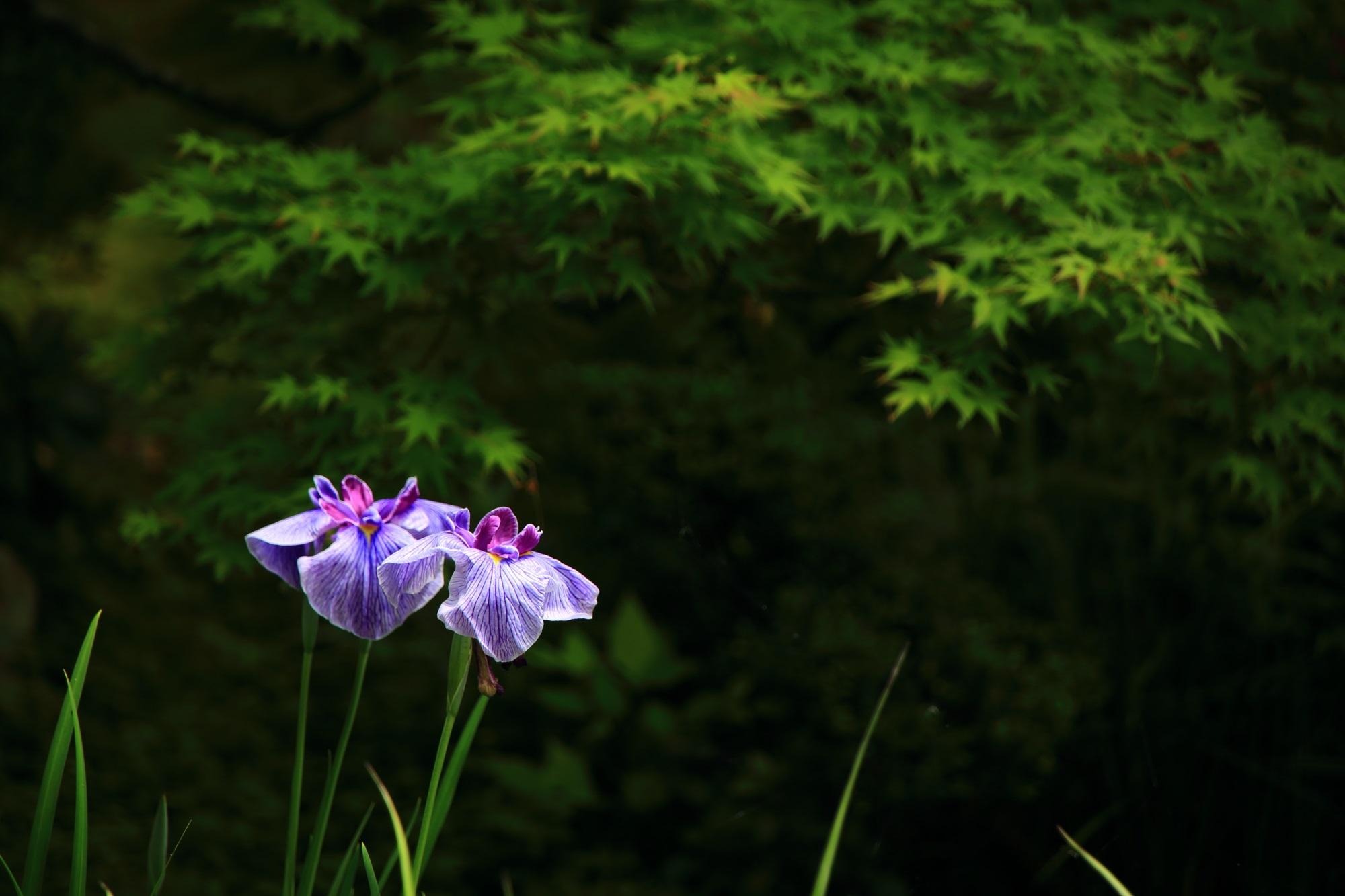 花菖蒲 方丈庭園 華やか