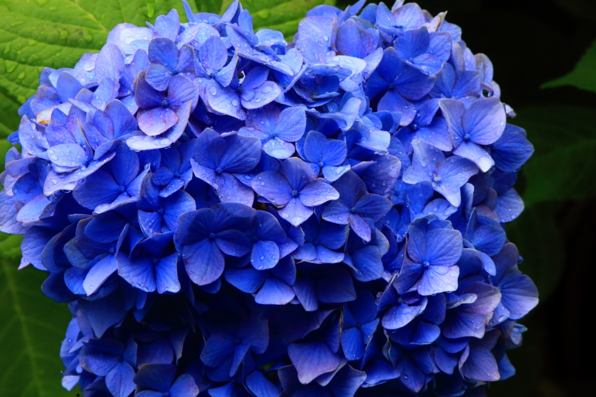 紫陽花の美しさを演出する雨の水滴