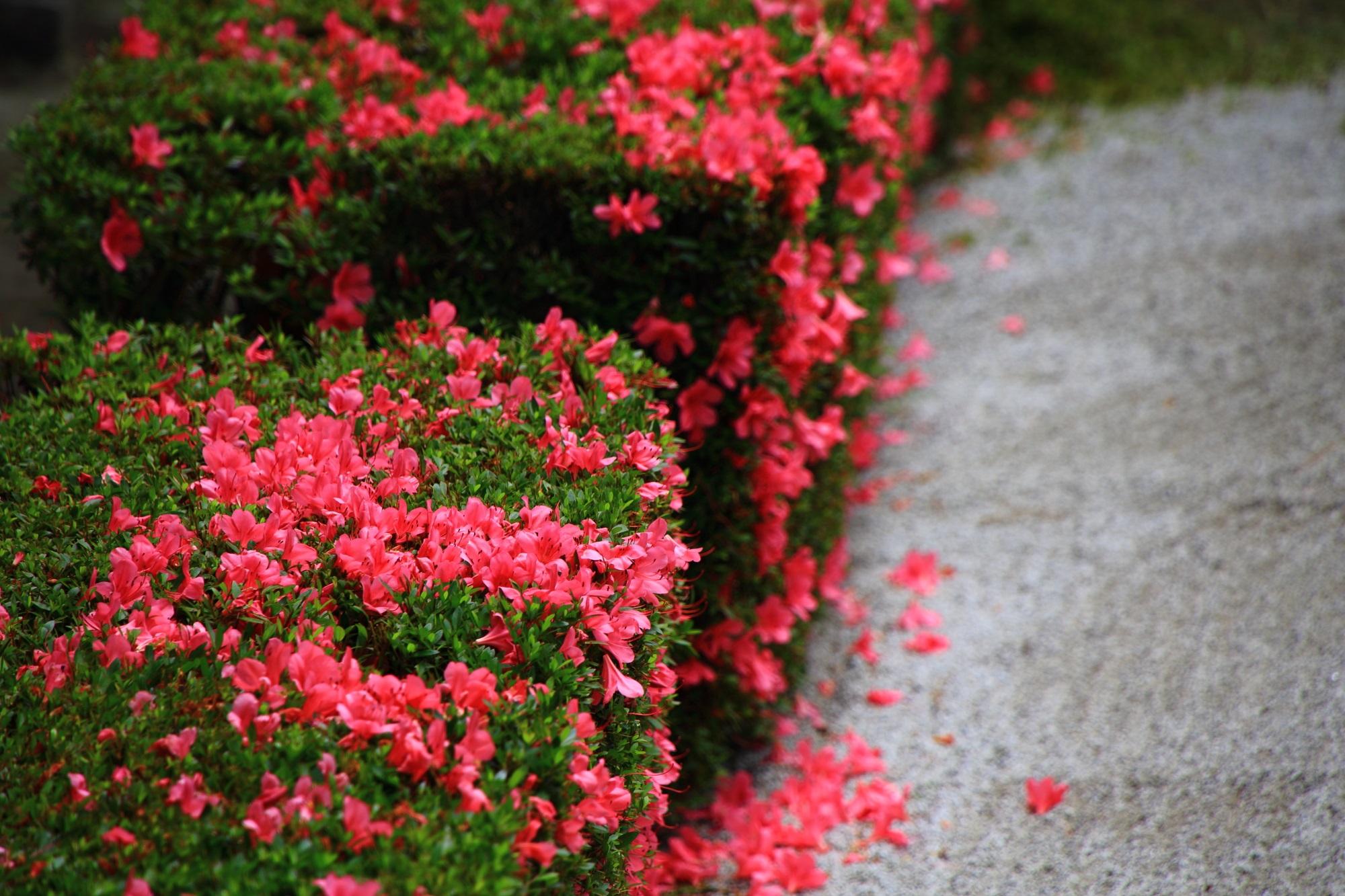 サツキ 方丈庭園 ピンク 華やか