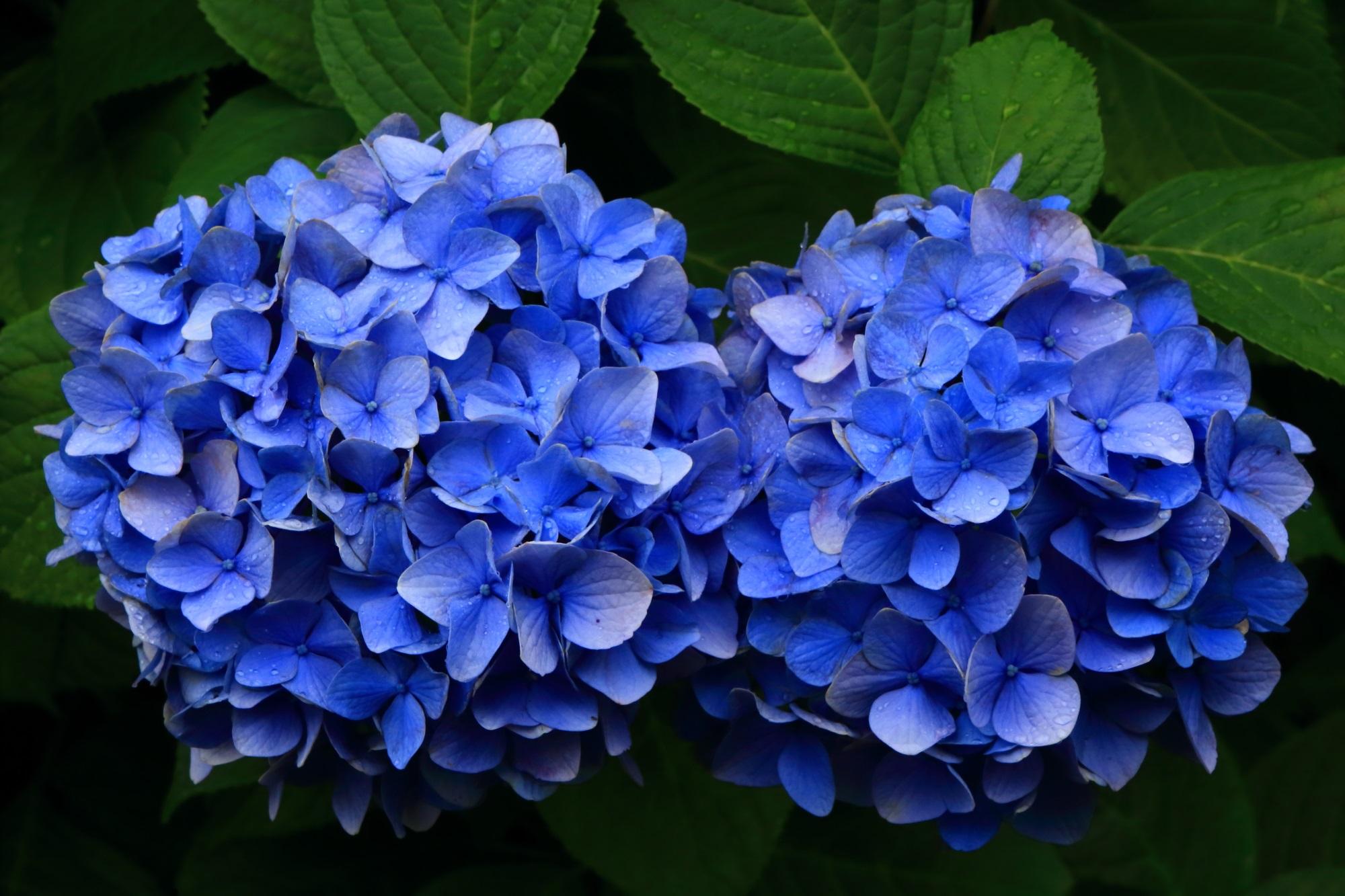 花びらごとに色の強弱がある青い紫陽花