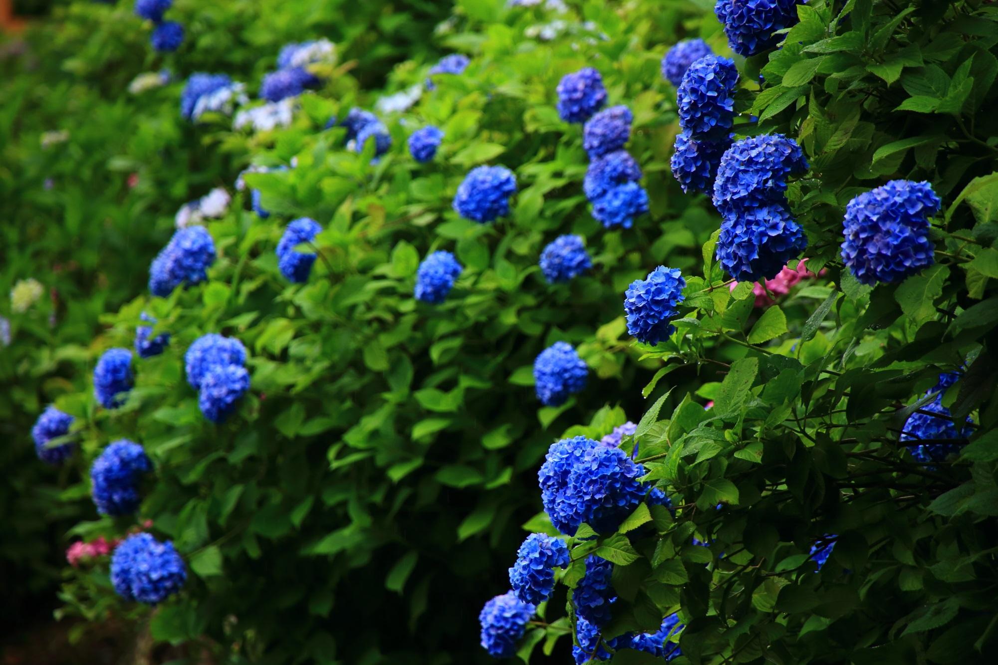 善峯寺の木陰で輝くような鮮やかなブルーの紫陽花