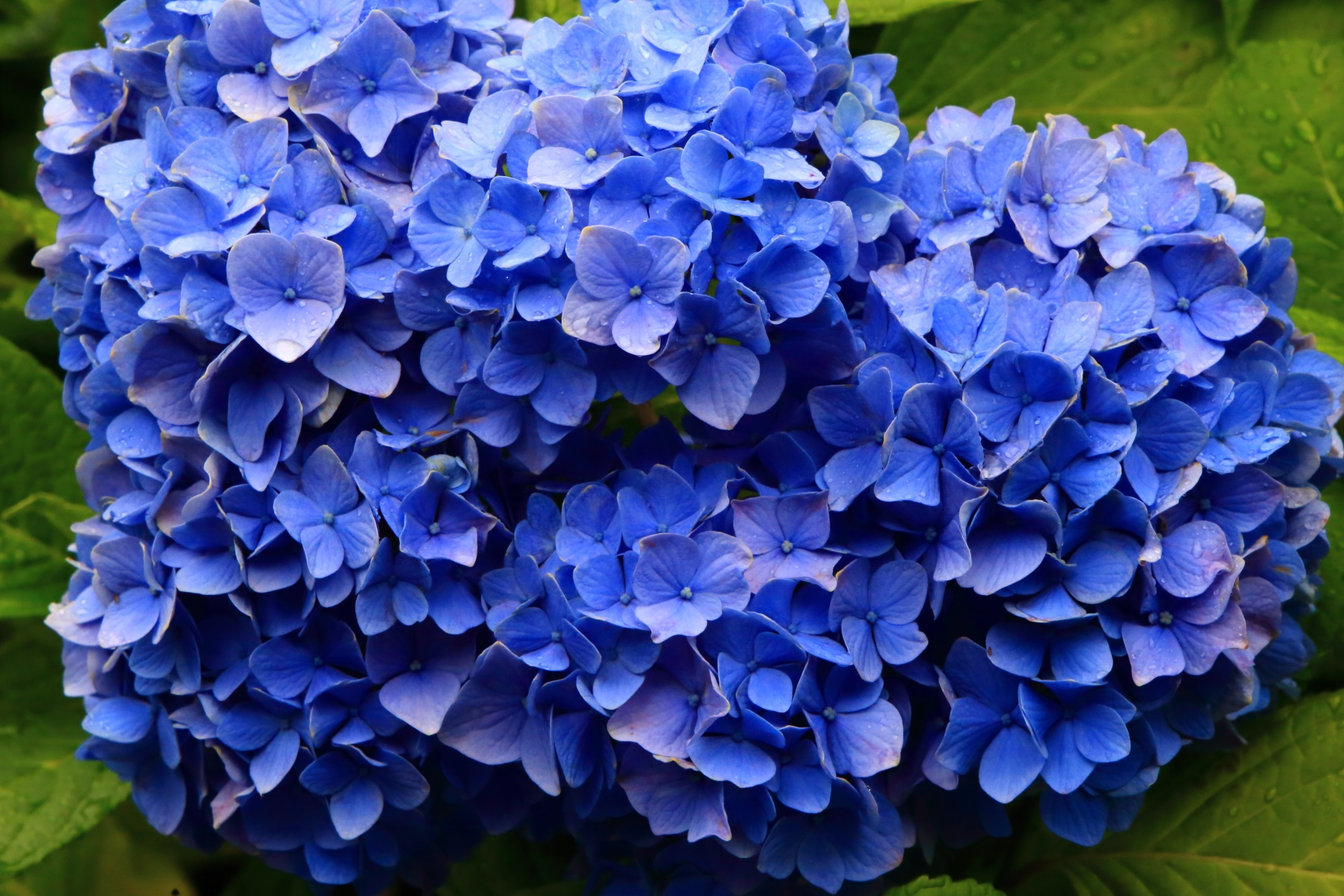 溢れそうな位に花びらの詰まった見事な紫陽花