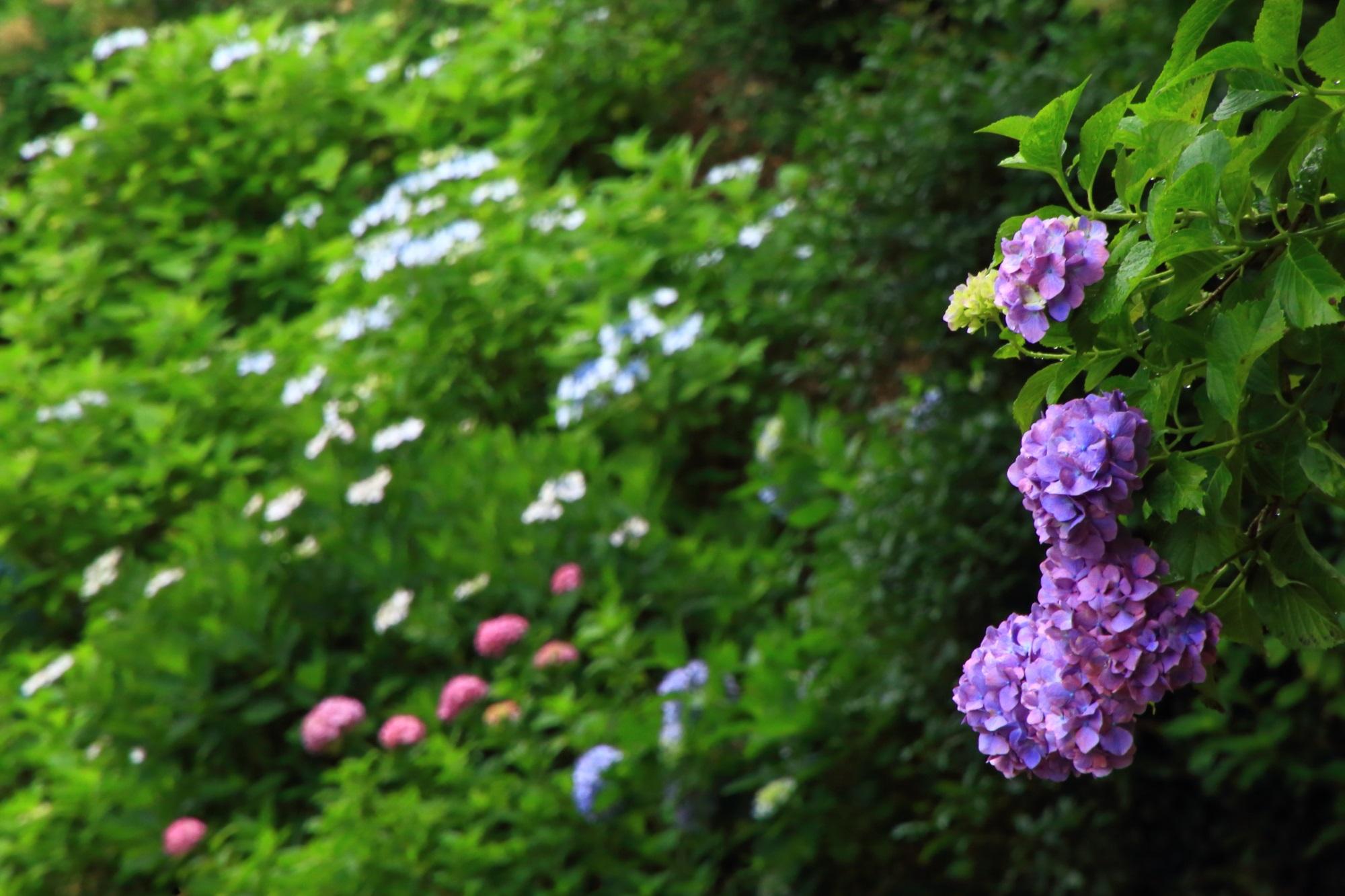 華やかさの中に風情も感じられる紫陽花