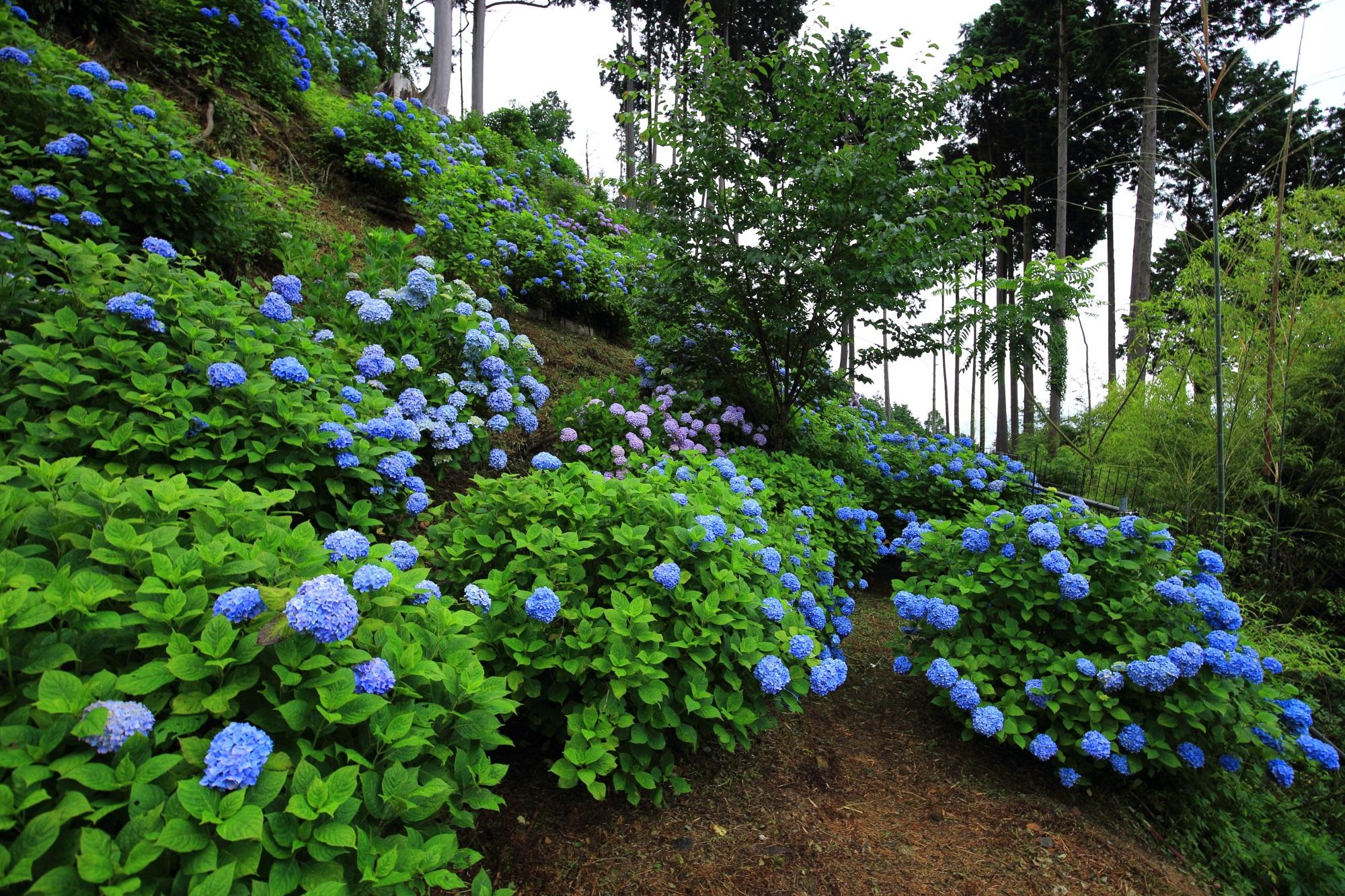 善峯寺の咲き誇る鮮やかなブルーの紫陽花