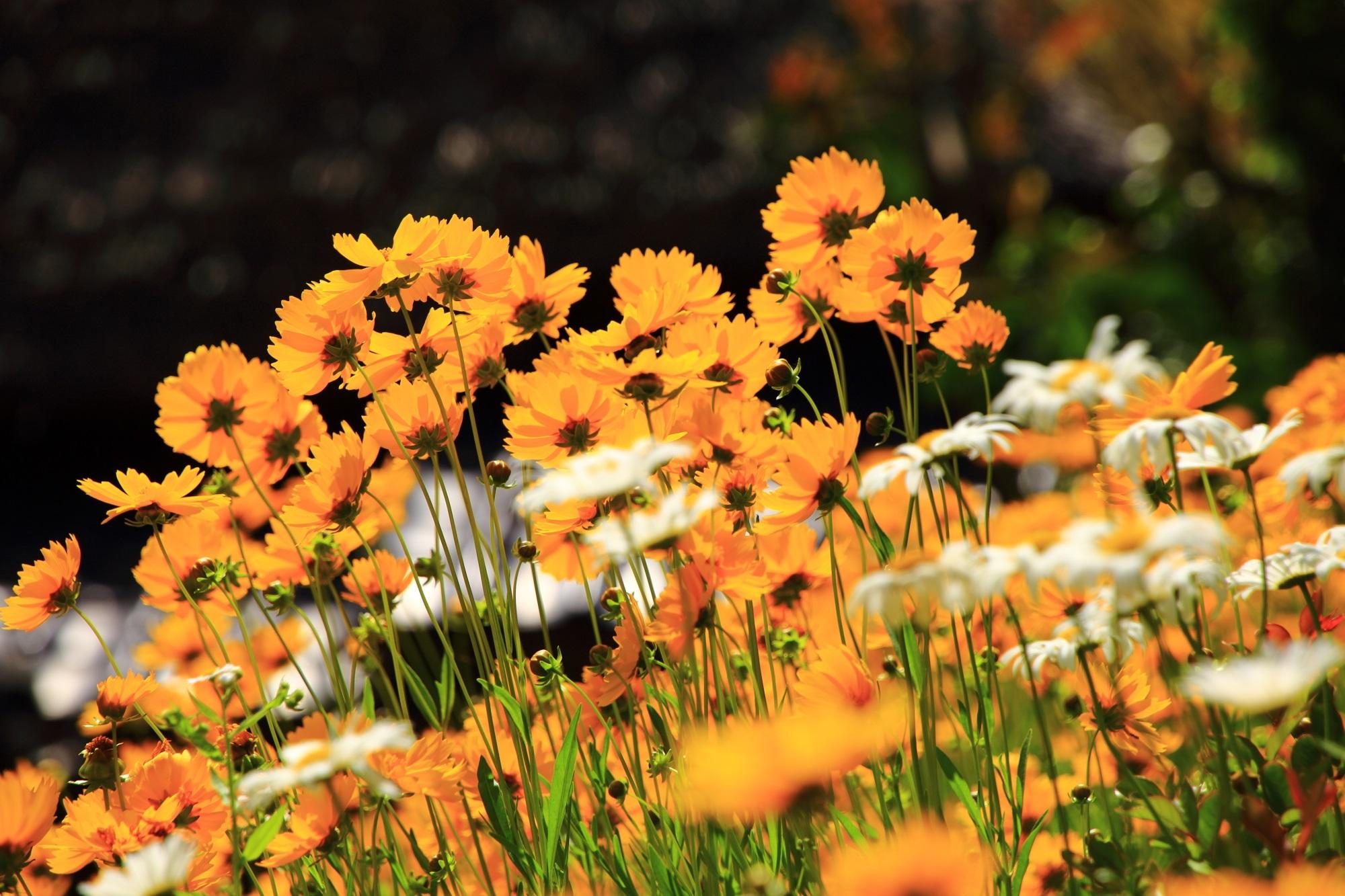 かやぶきの里の太陽に照らされて華やかに輝く花々